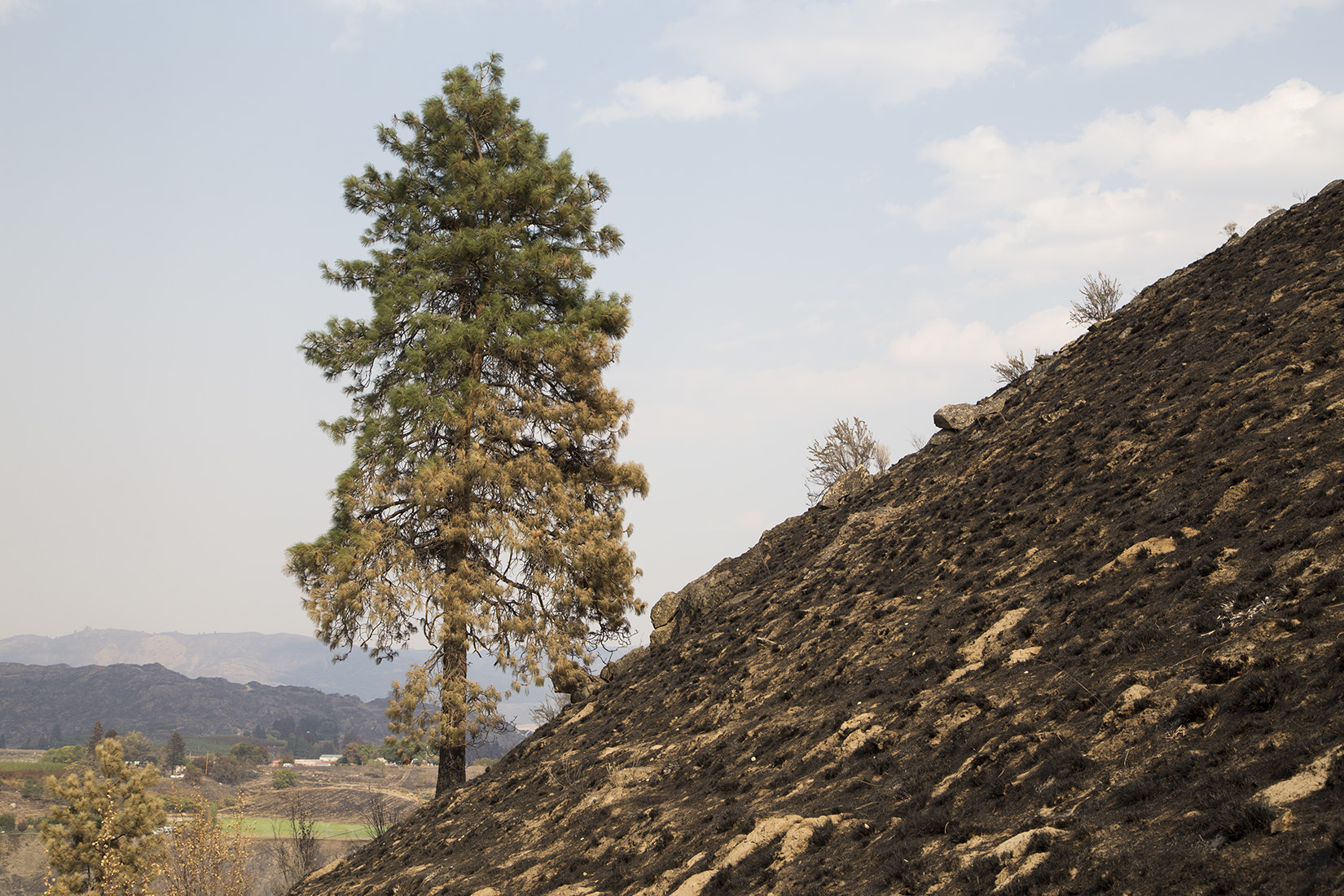 Ponderosa pine on Chelan Butte, showing scorch and  elevated crown base as a result of fire.  Photo by John Marshall.