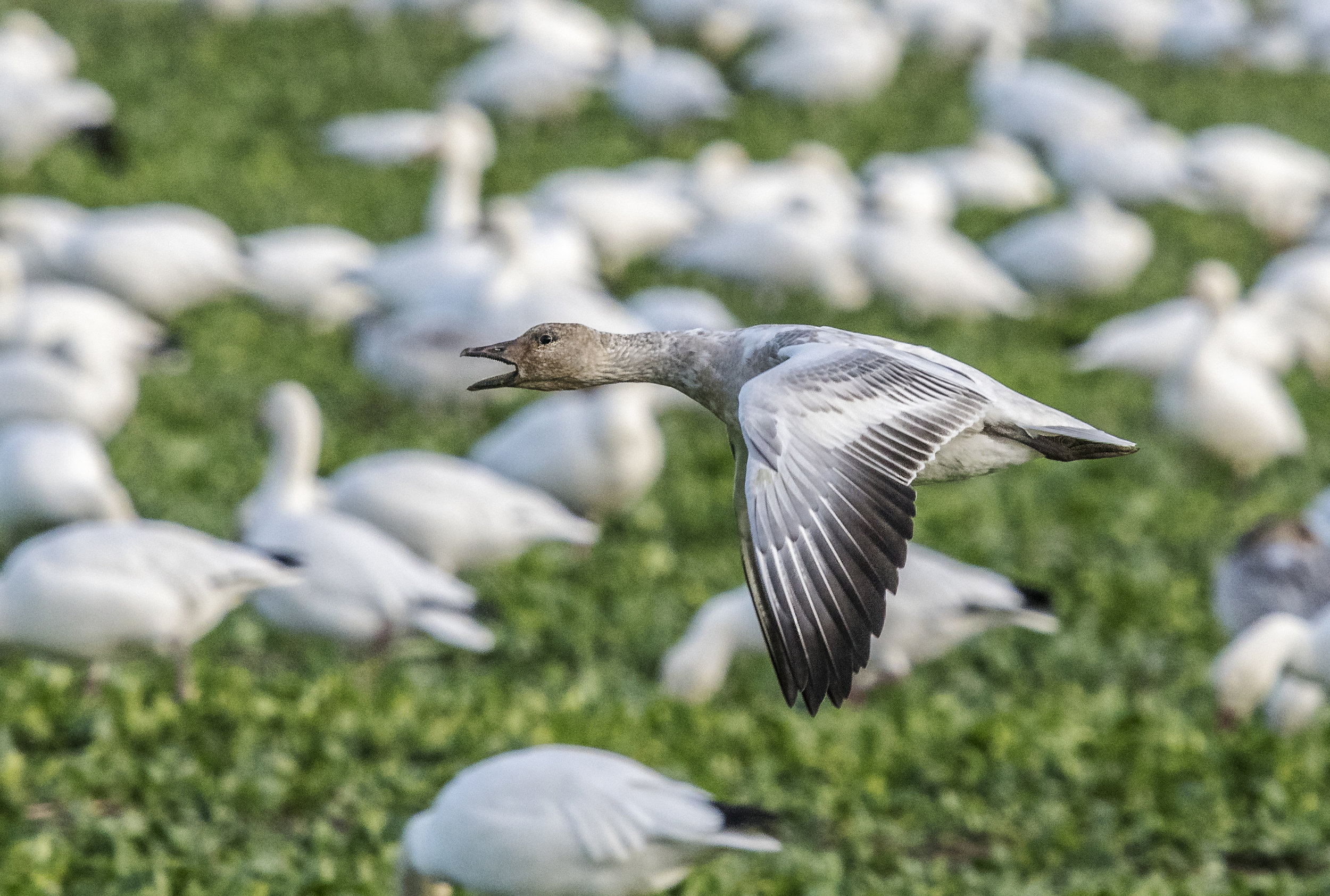 Only found in Washington during winter: Snow Goose (juvenile).  Photo by Ken Salzman
