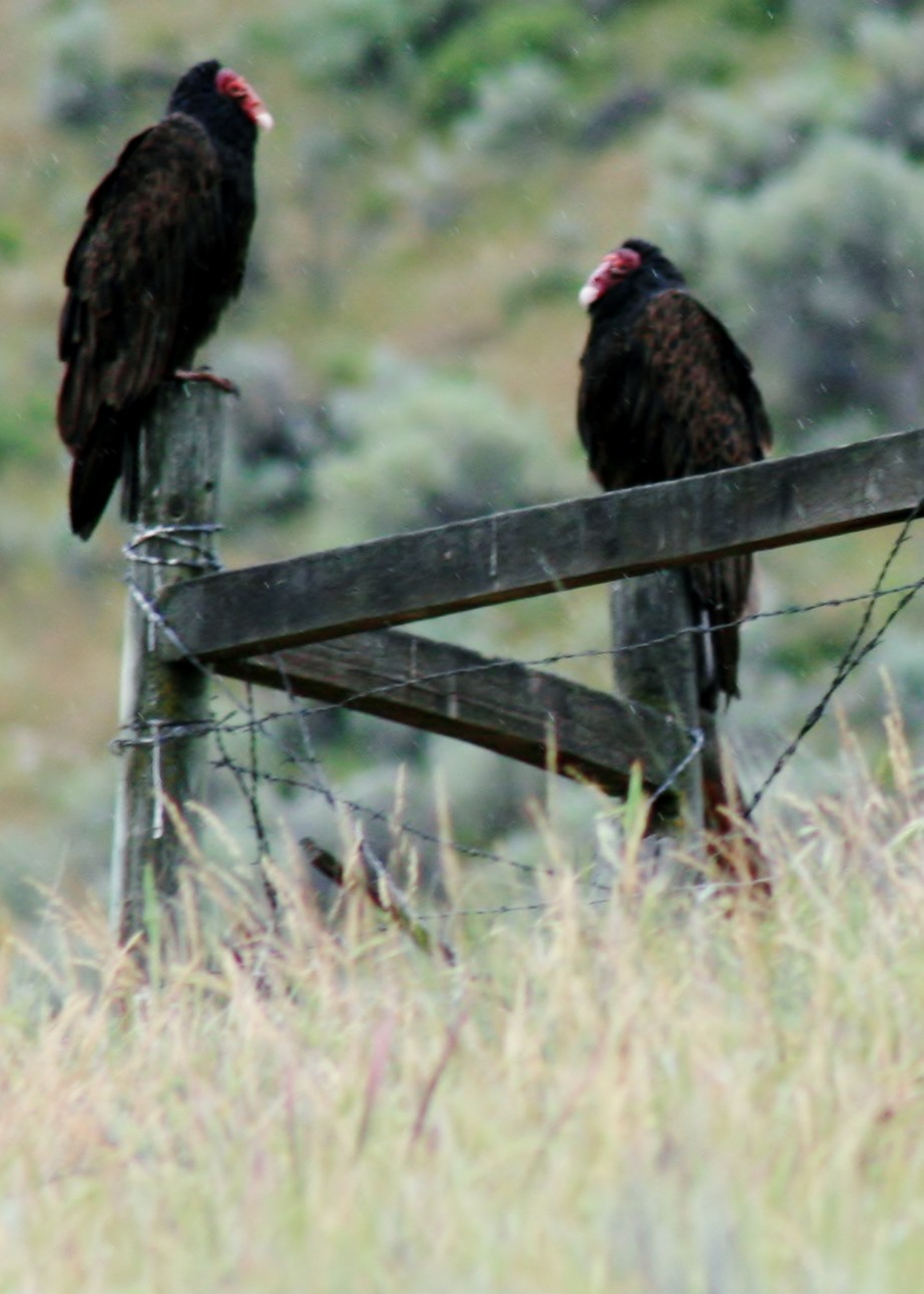 Turkey vultures. Photo © Kyle Smith