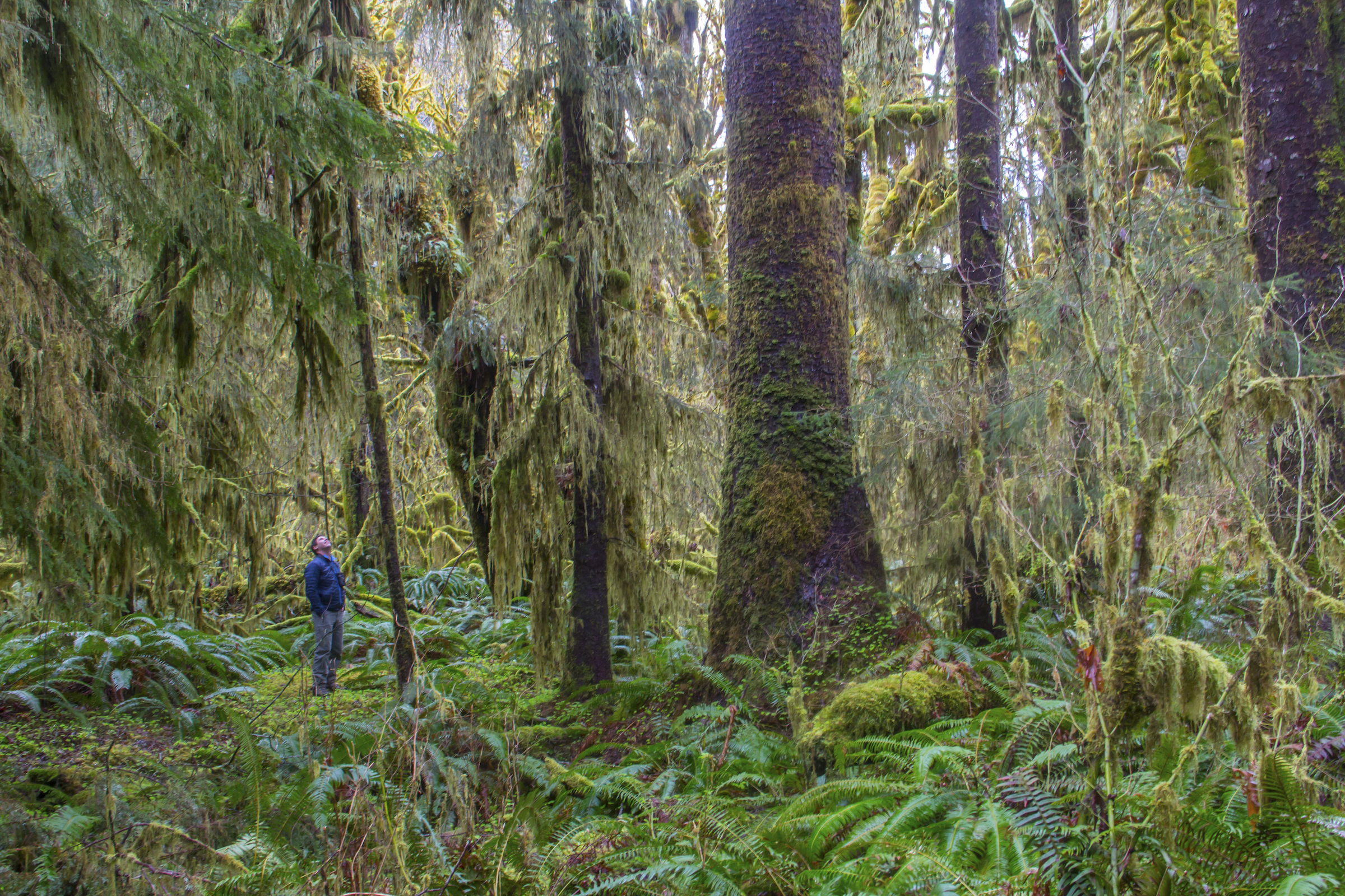 Moss on conifers around the Hoh River area, Olympic Peninsula, in spring. Photo by Joel Rogers.