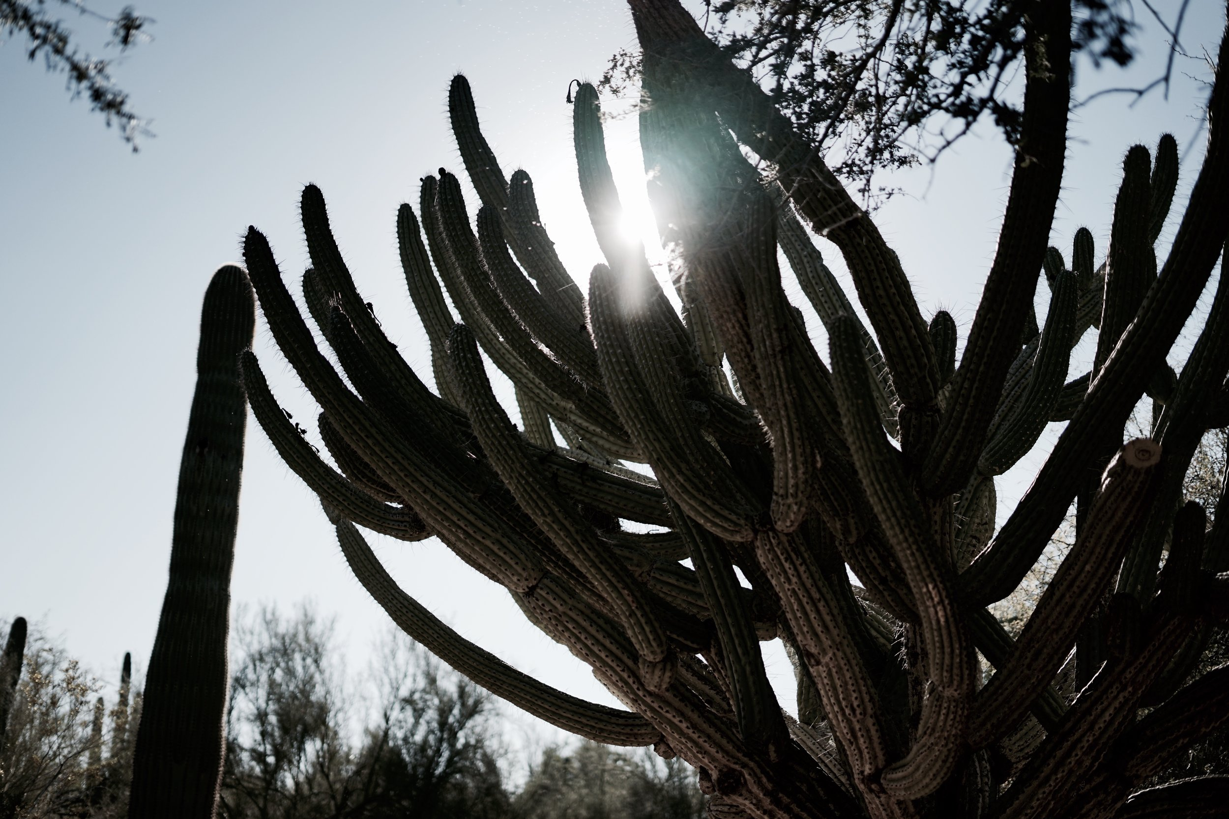 Organ pipe cactus in Arizona. Photo by Courtney Baxter.