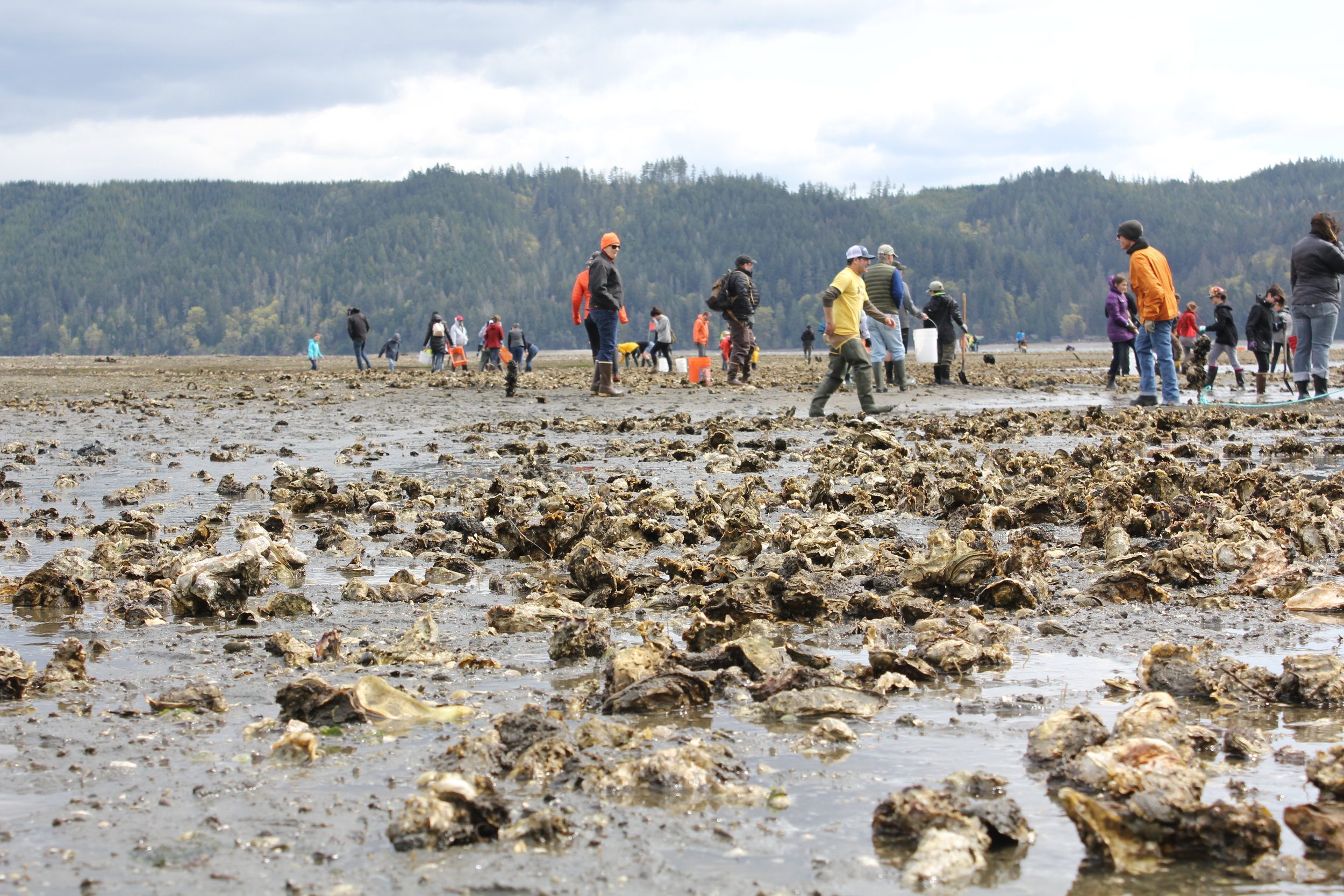 Oyster Rama attendees harvest shellfish on the tideflats of Hood Canal.