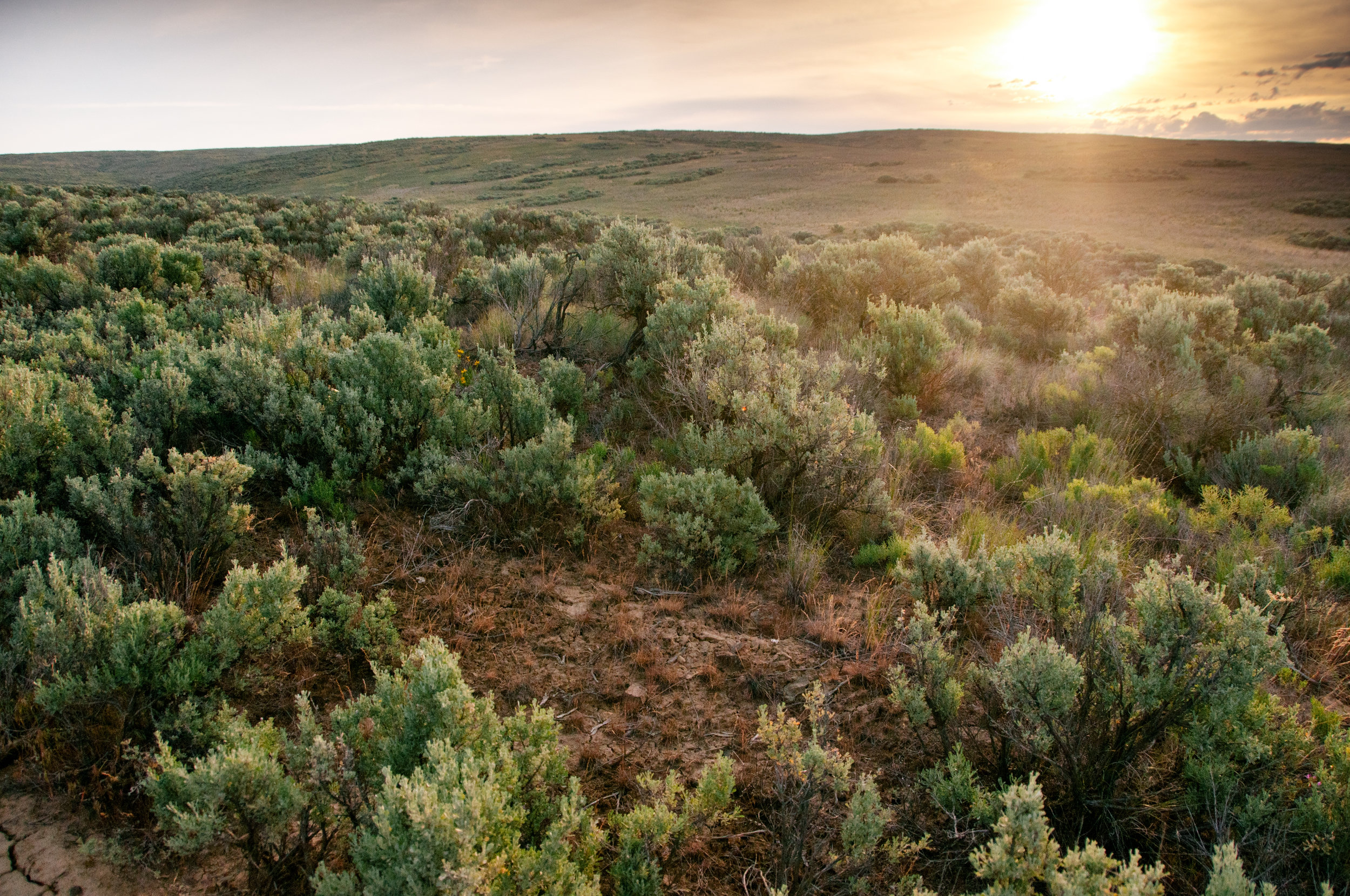 Shrub-steppe once covered nearly half of Washington's lands, but today has declined by two-thirds. Several plants and animals rely on this ecosystem, and The Nature Conservancy is committed to preserving wild spaces like our Beezley Hills Preserve outside Quincy. Photo by Hannah Letinich.