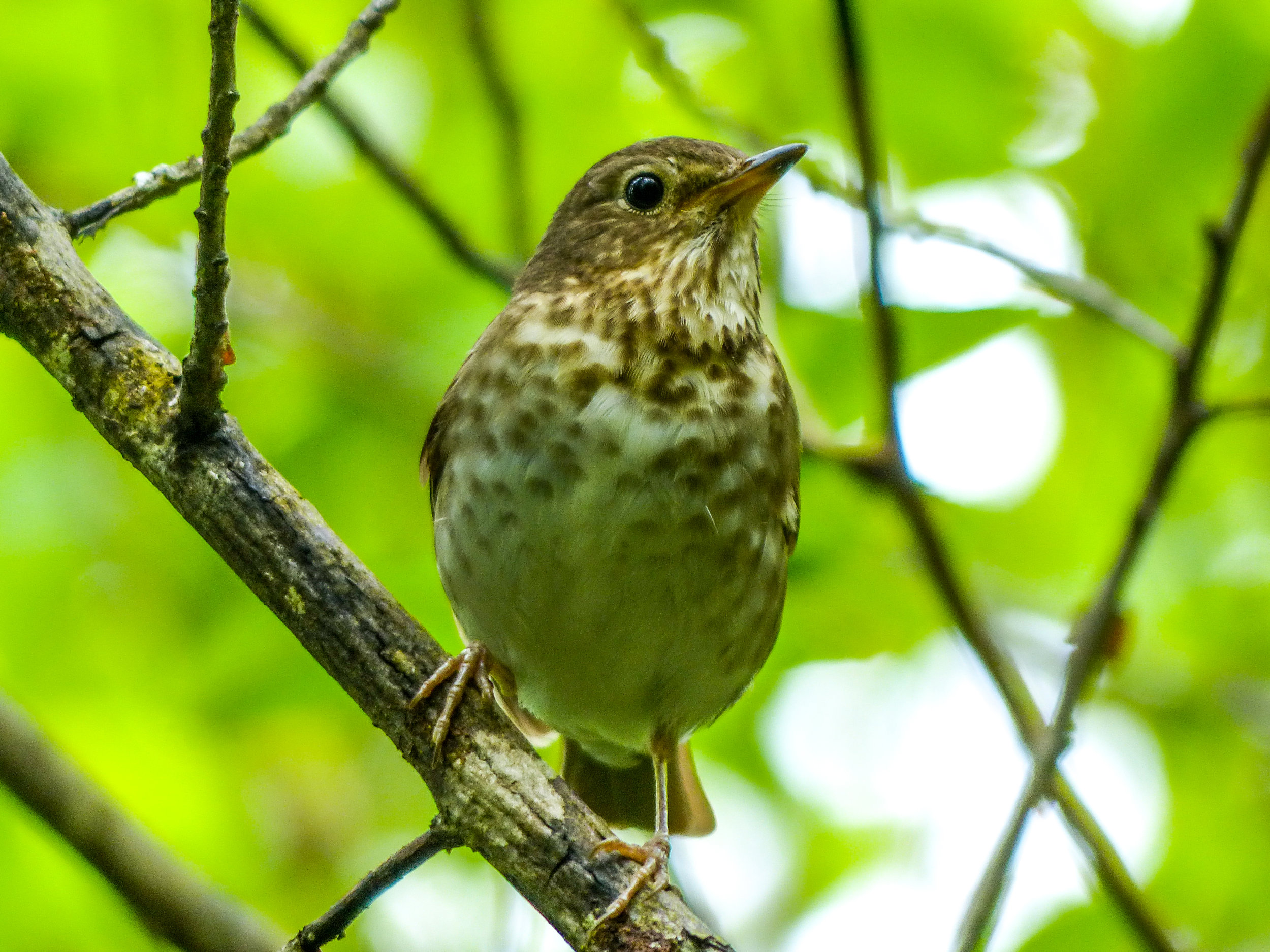 Hermit thrush © David Ryan / TNC