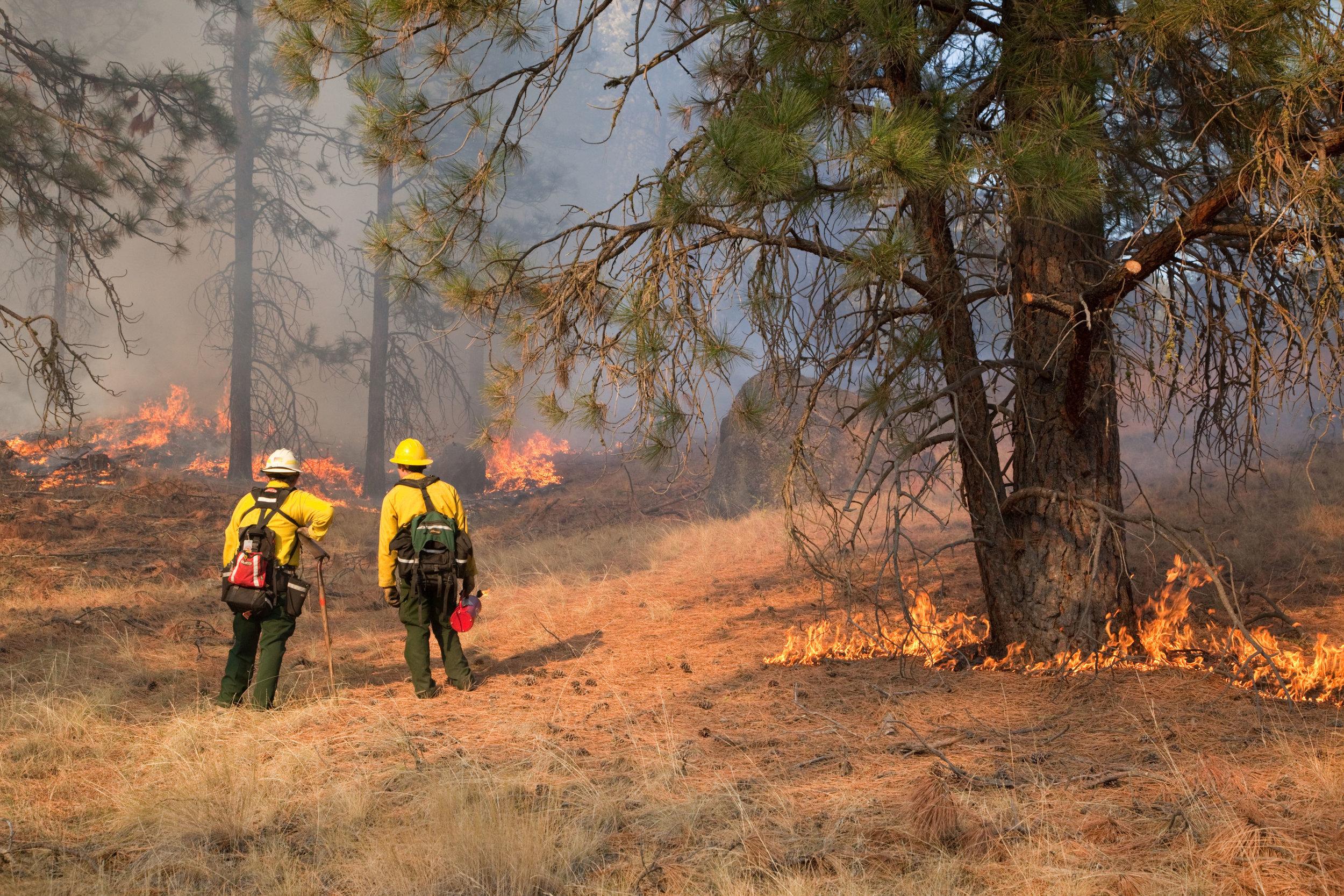 Prescribed fire in ponderosa pine forest in fall on Sinlahekin Wildlife Area in Okanogan County.