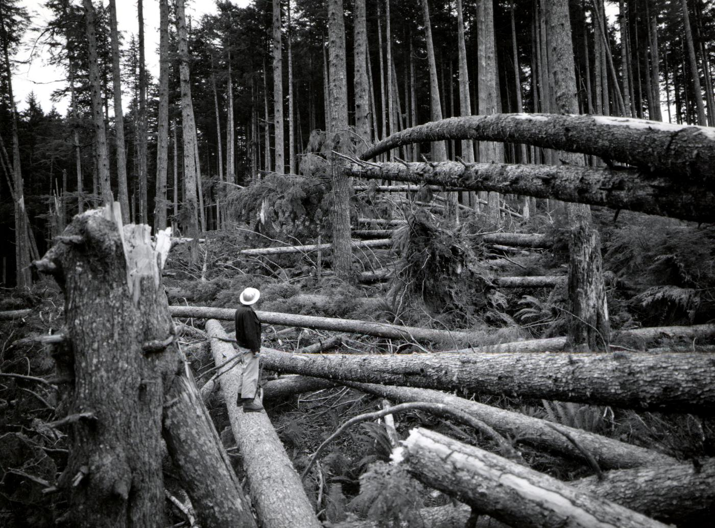 Blowdown from Columbus Day storm that happened October 12, 1962. Hebo Ranger District, Siuslaw National Forest, Oregon. Photo by Wally C. Guy