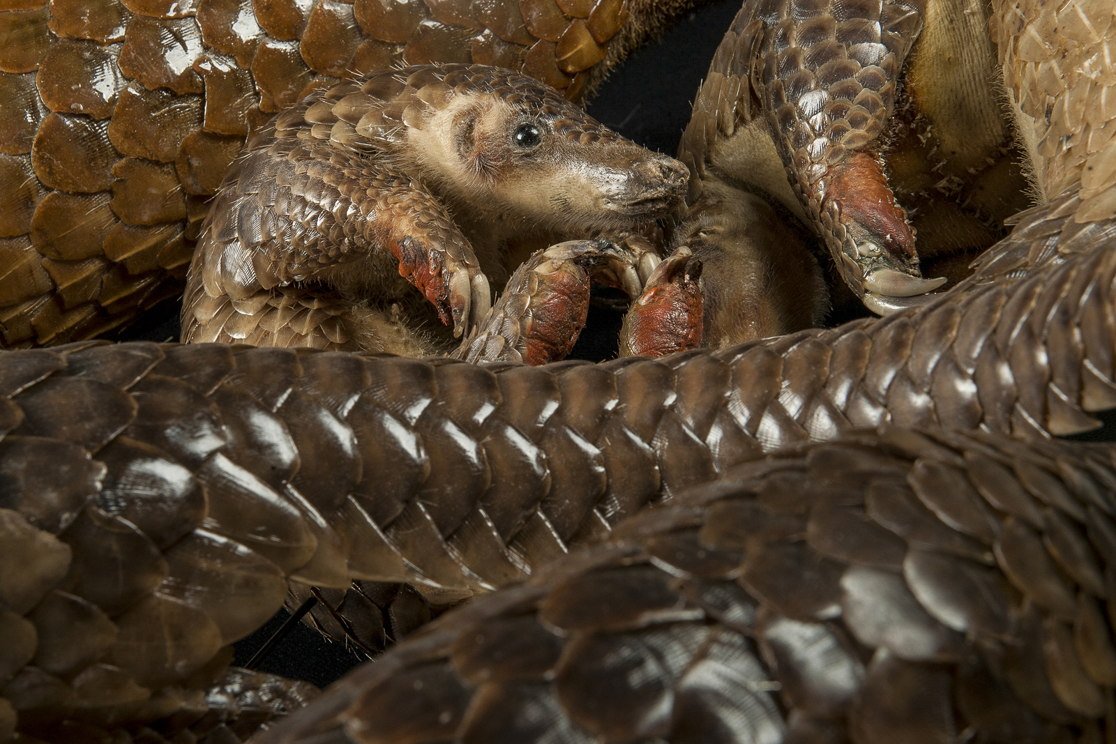 The pangolin is the world's most trafficked animal, and most are not lucky enough to be saved from poachers and hunters. Photo credit: © Xiao Shibai/Wild Wonders China