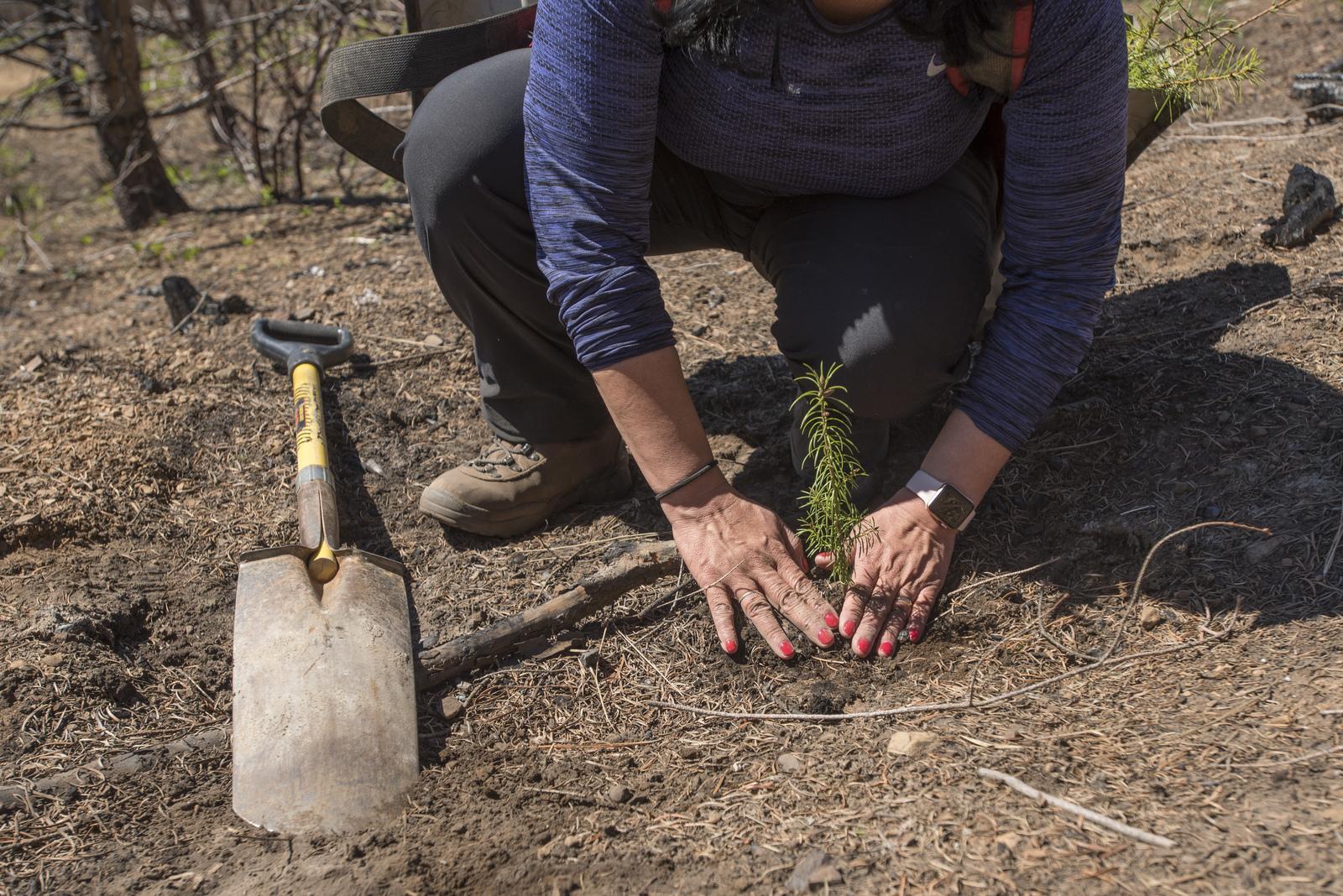Jenette Ramos plants a tree sapling in a burned landscape on Roslyn Ridge. © Nikolaj Lasbo
