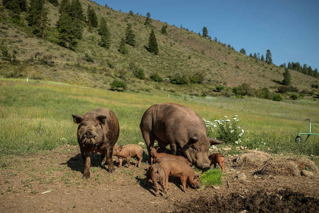 Heritage Hogs in Winthrop