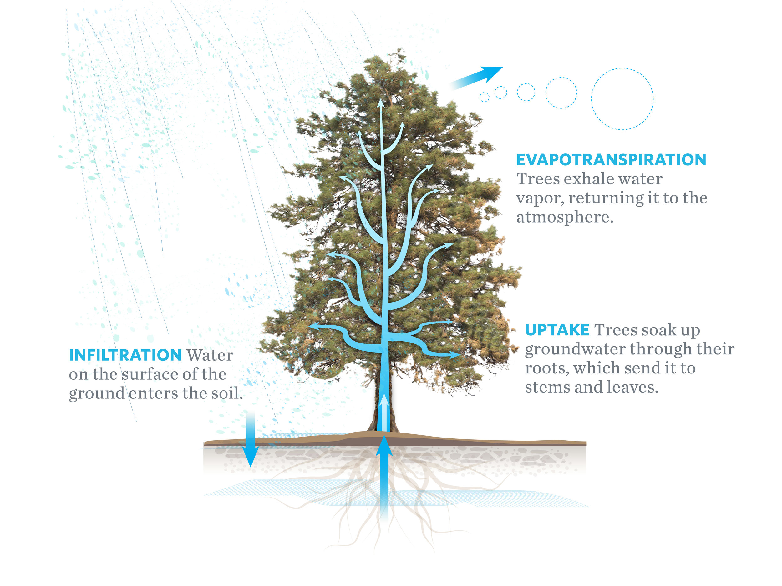 There are several pieces to the hydrologic puzzle of our dry forests in the Eastern Cascades. Trees draw water from the ground but they also transpire it as vapor. Overstocked forests may be a threat to water security as our climate grows hotter and drier.