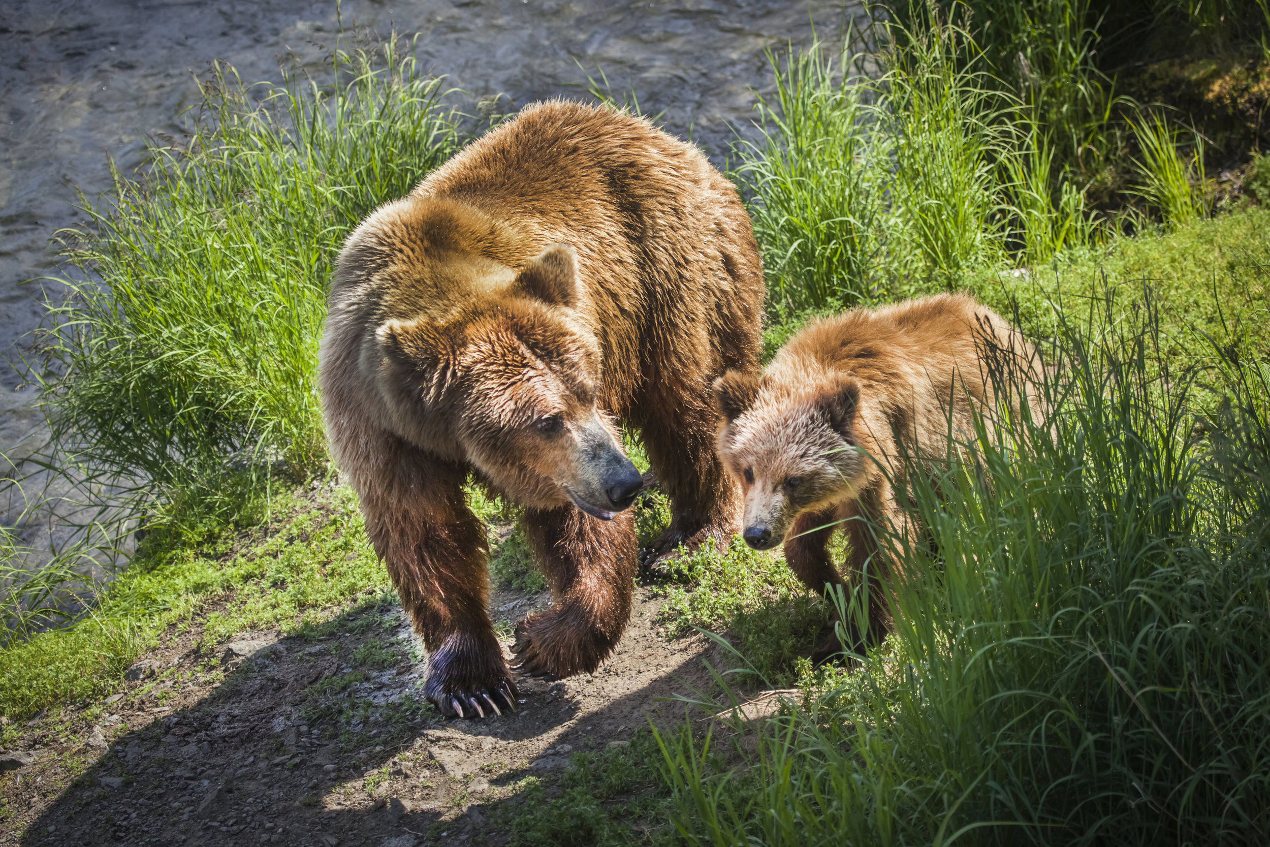 A mother brown bear and her yearling emerge from the river after fishing in Katmai National Park in Alaska. The salmon that nourish them depend on cool, clean water and a stable climate. Photo by Jennifer Leigh.