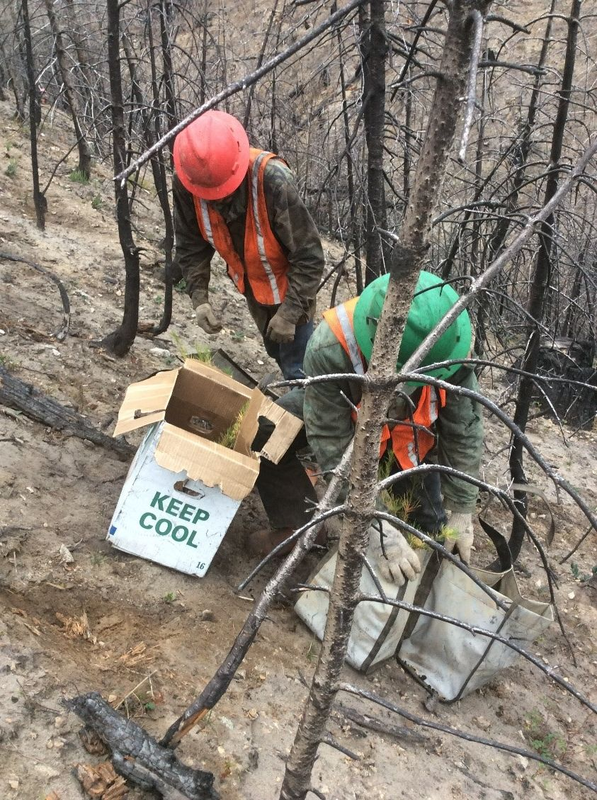 Crew plants seedlings in an area of Cle Elum Ridge burned by the Jolly Mountain Fire. © Kyle Smith/TNC