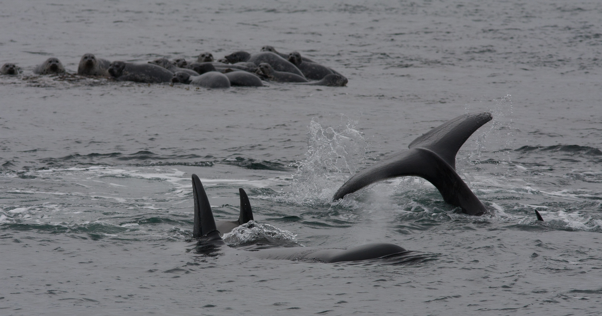 Orca whales near Yellow Island. Photo by Phil Green.