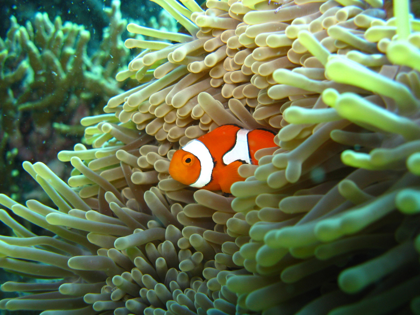 An orange clownfish within its home anemone in Kimbe Bay off the coast of New Britain, Papua New Guinea. Photo by Vanessa Messmer.