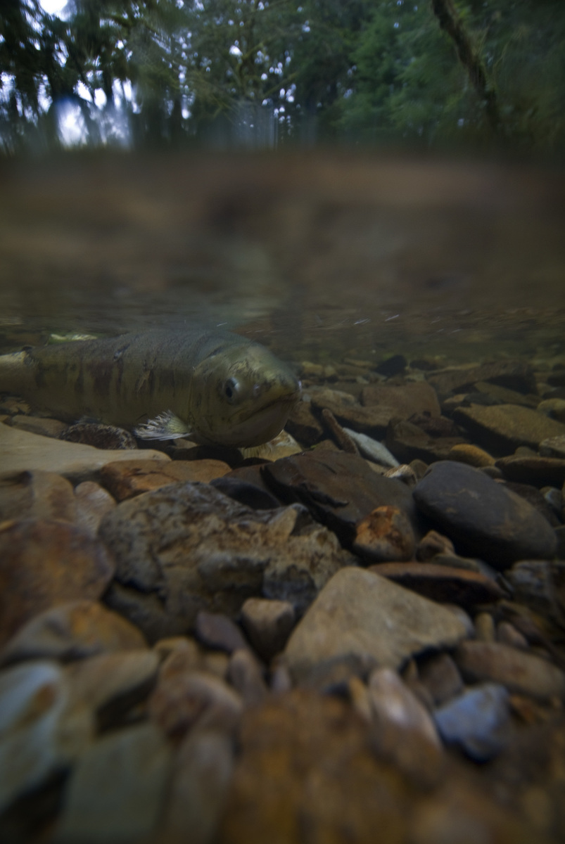 A salmon swims after spawning at The Nature Conservancy's Ellsworth Creek Preserve in Southwest Washington. Photo by Bridget Besaw.