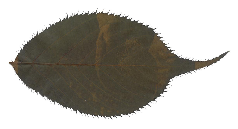 leaf003_WhiteBackground.jpg