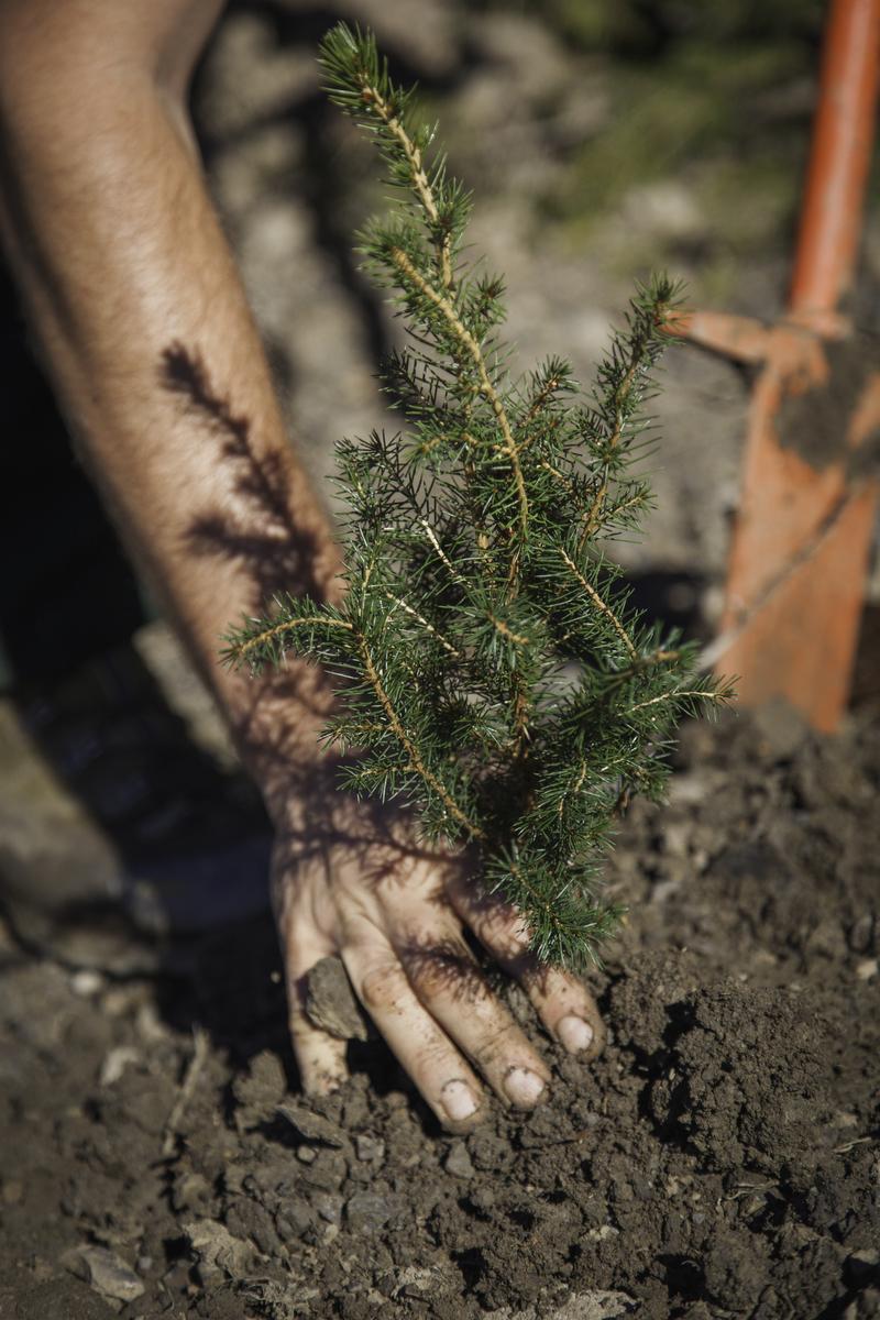 Red spruce tree saplings. © Patrick Cavan Brown