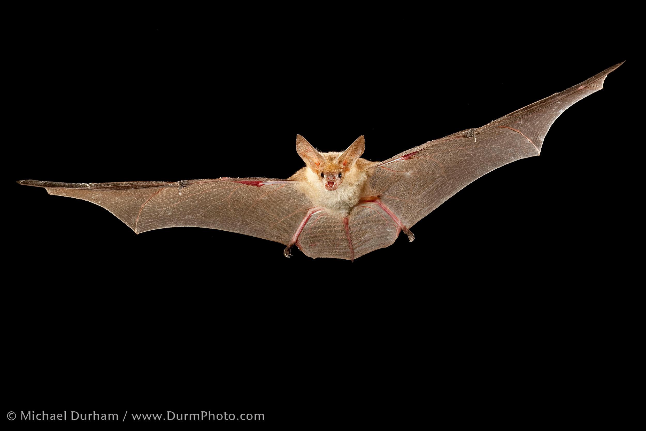 A pallid bat in Washington's shrub-steppe. © Michael Durham