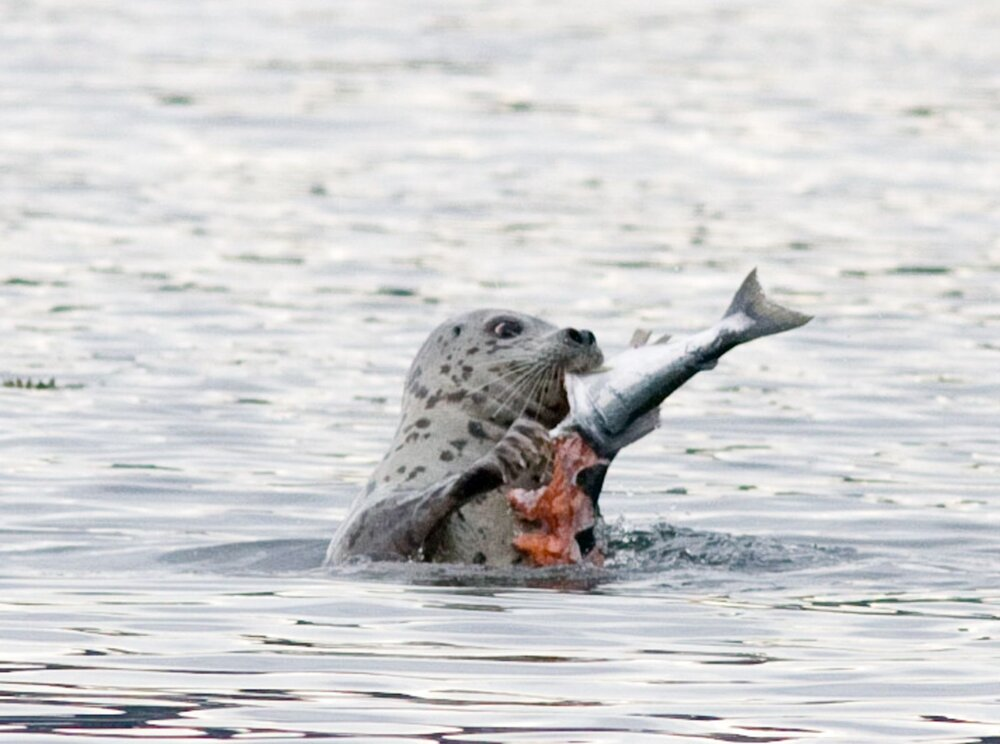 Toxics flow into Puget Sound and ultimately throughout the food web as we see this harbor seal feasting on salmon near Friday Harbor. © Phil Green/TNC