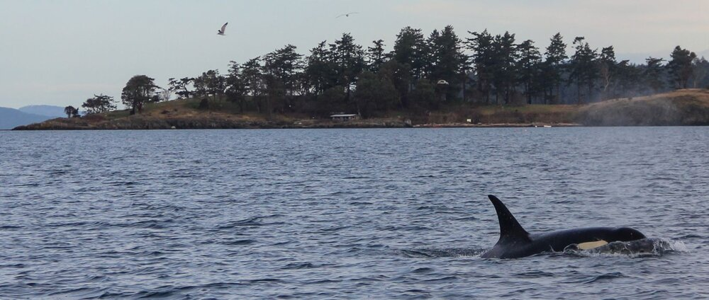 Orca cruises past the Yellow Island cabin that is occasional home to island steward Matt Axling.