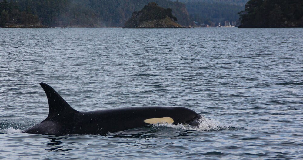 Closeup visit with an orca.