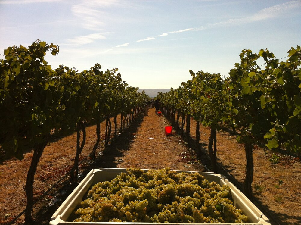 Chardonnay_grapes_harvested_from_Wykoff Vineyard in Yakima Valley creative commons photo by Agne27.jpg