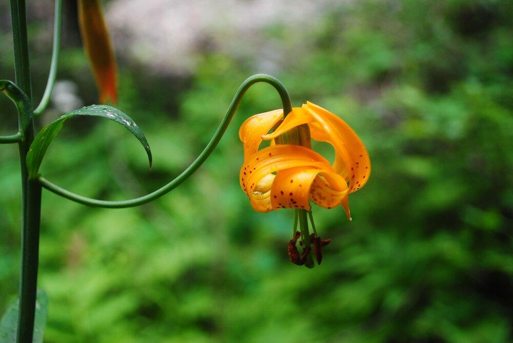 ManastashTaneum wild lily - maybe Mountain - Columbia - Martagon - Tiger - close up by Zoe van Duivenbode.jpg