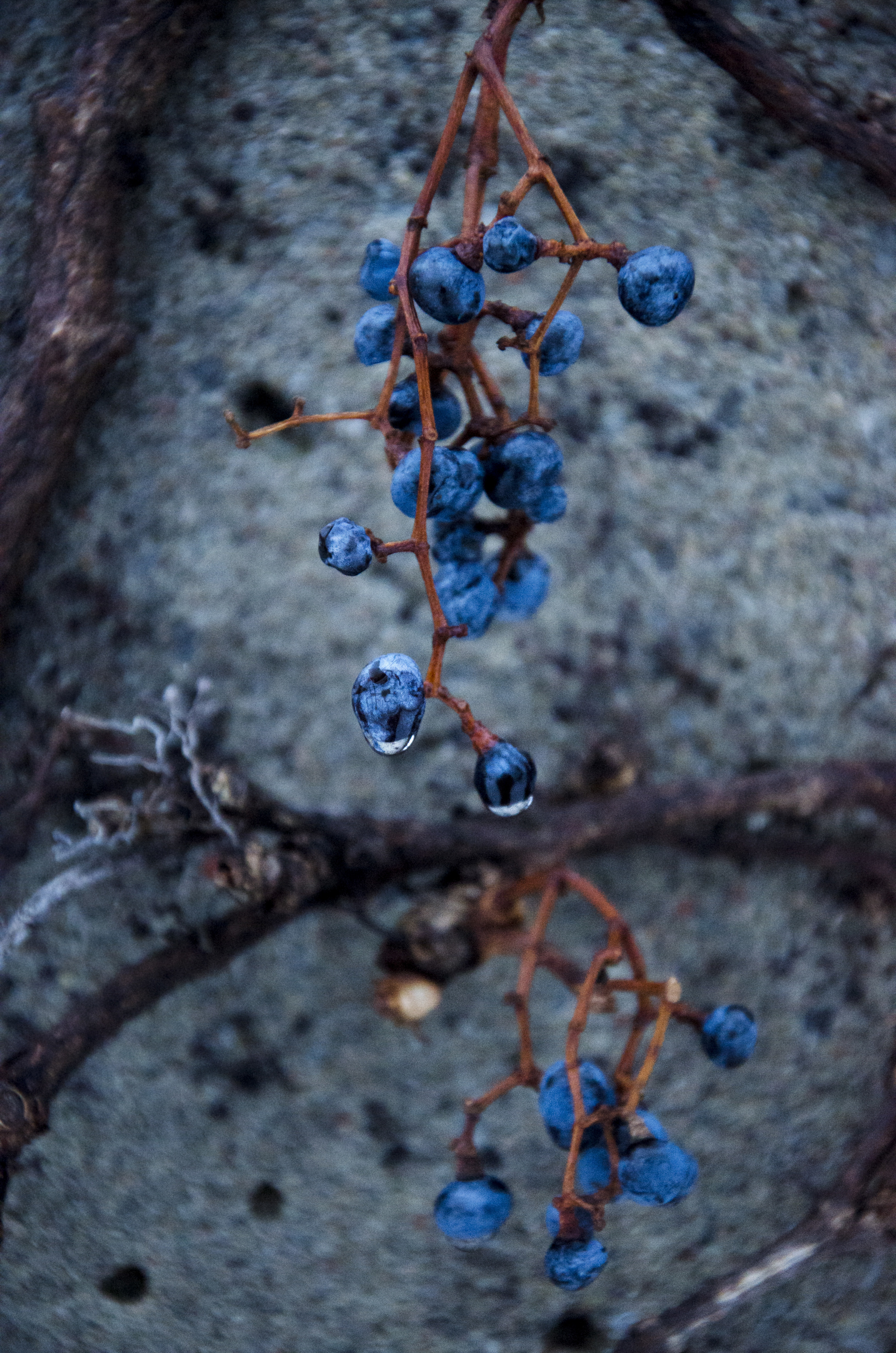 Jenkins, Cheyenne. Grapes . 2013. Digital Photography. Montreal, Quebec