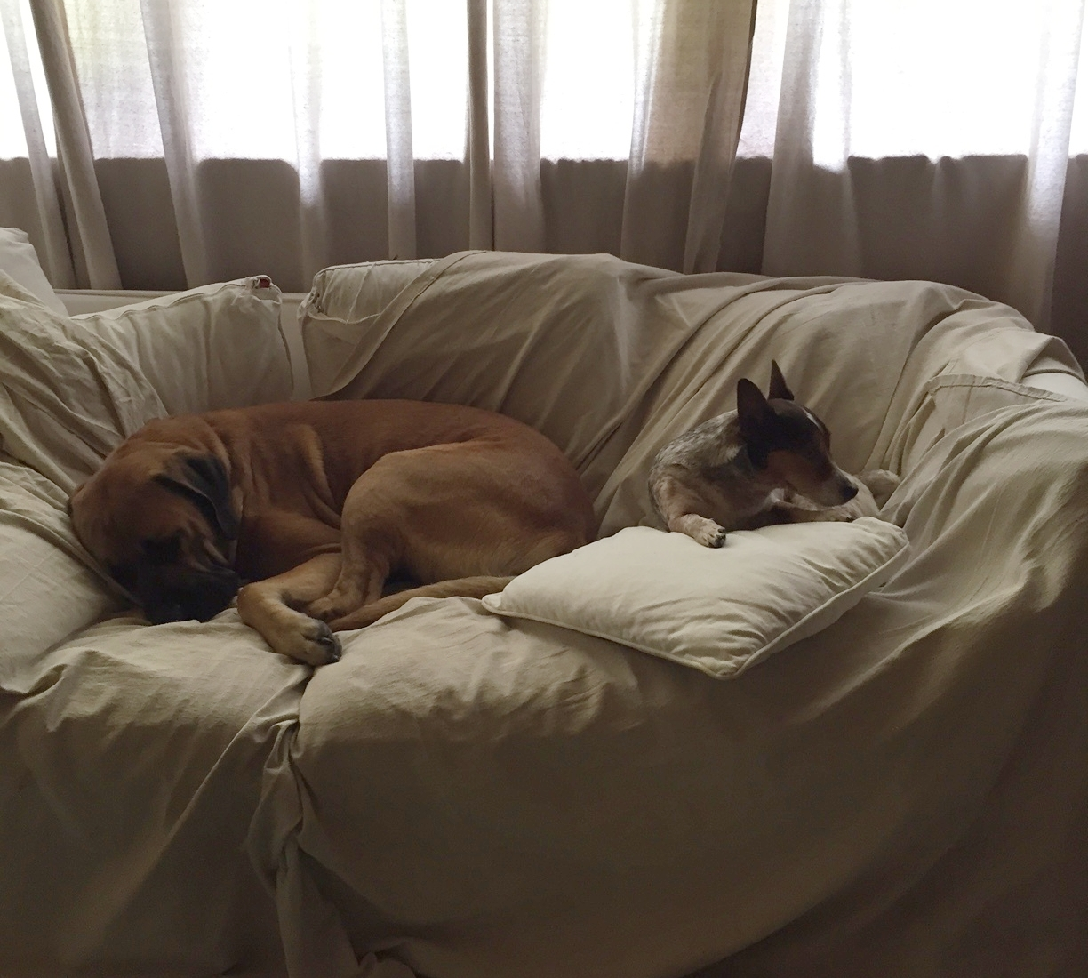 Bigly (on the left), and Loverboy (on the right), dozing on the couch in Karen's studio.  Thank goodness for drop-cloths!