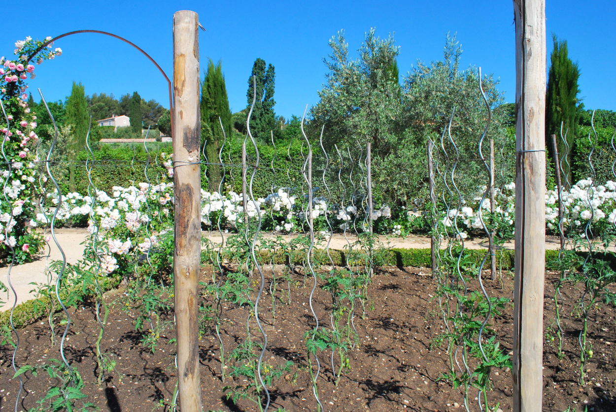 Row of Staked Tomatoes in Provence Kitchen Garden