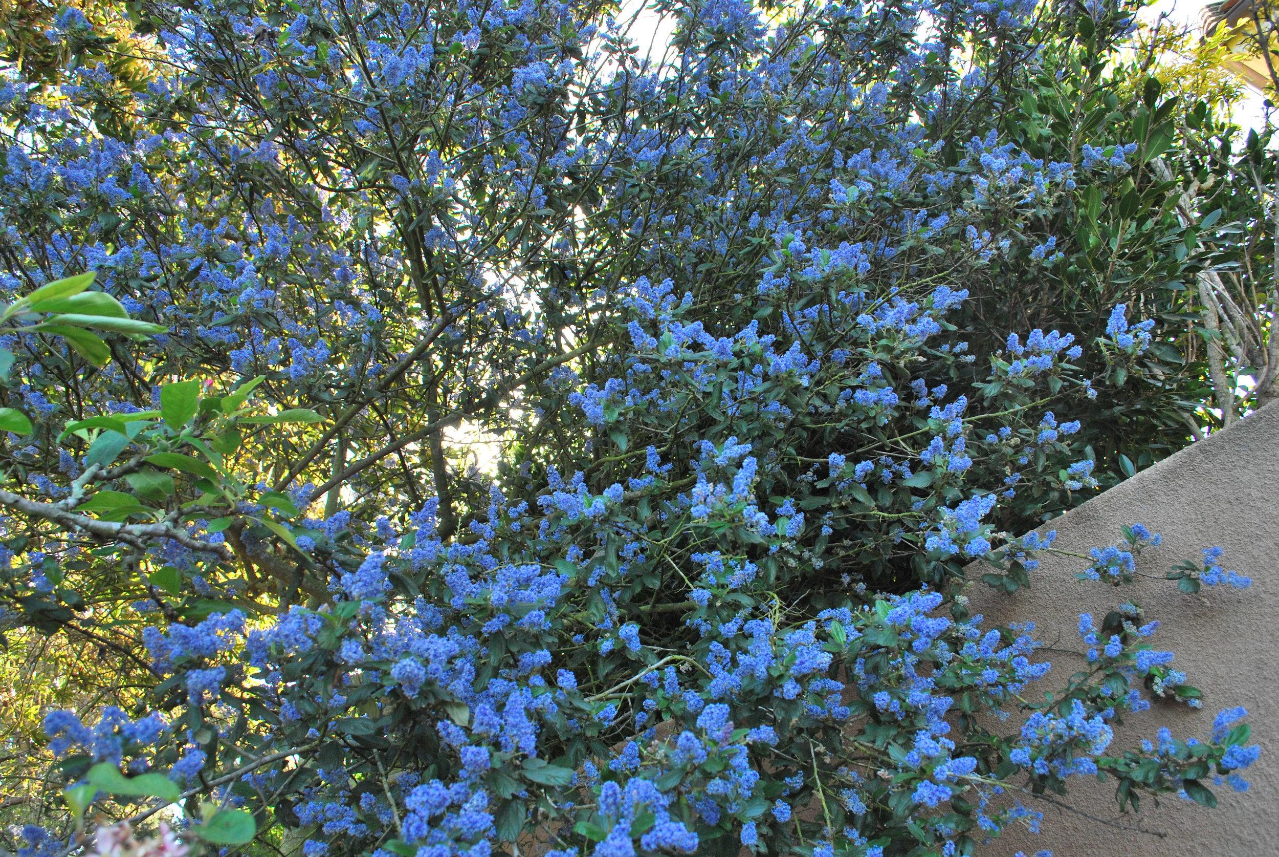 Native California Wild Lilac, Ceanothus 'Ray Hartman'