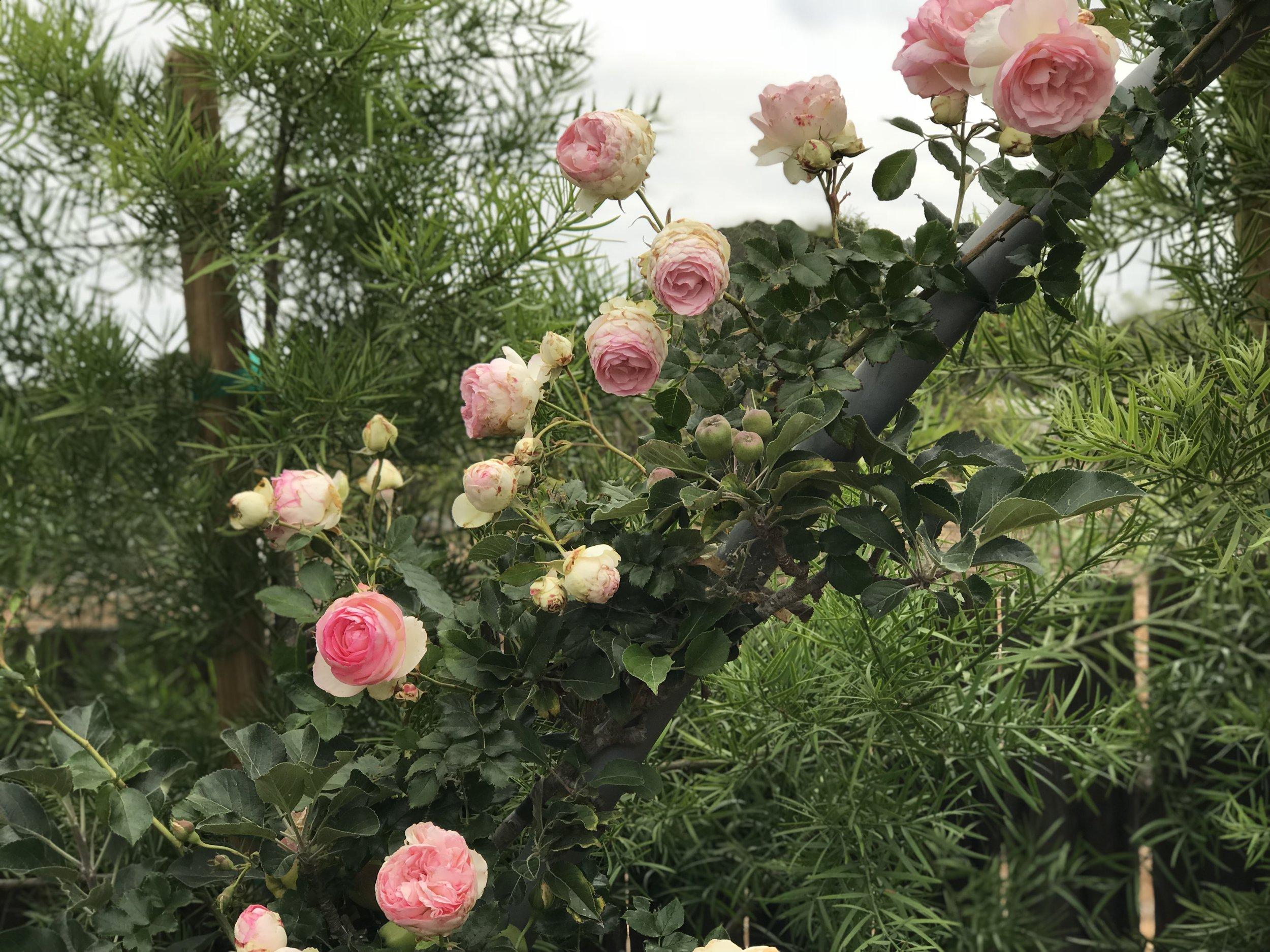 Climbing Eden Rose In My Potager