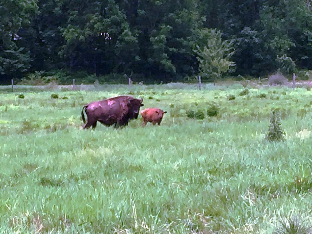 Our meadows and bison