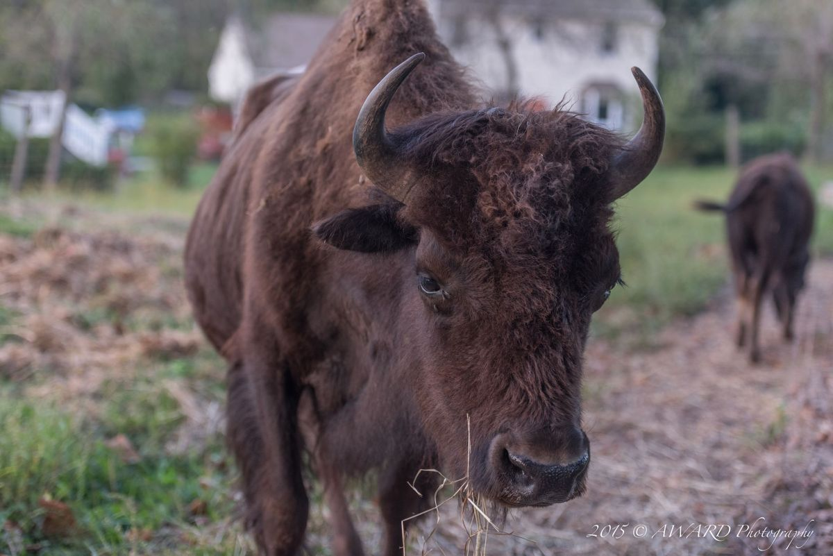 Bison Photo by Award Photography