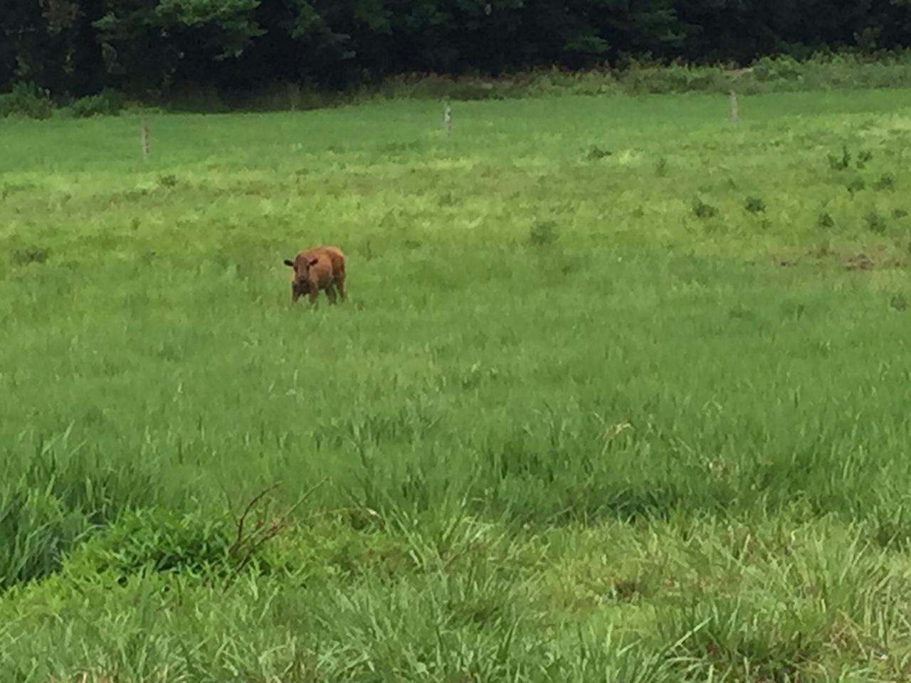 calf alone.JPG