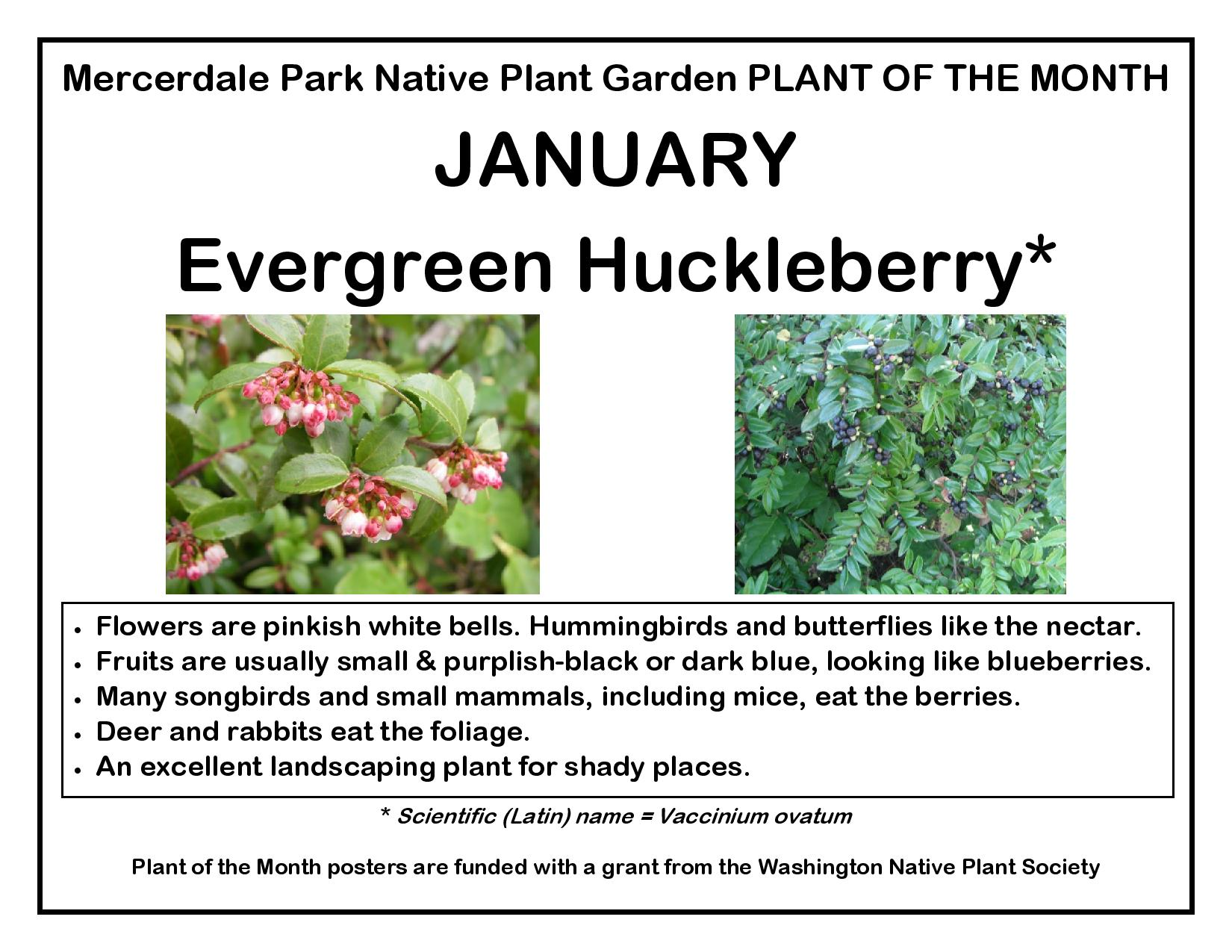 PLANT OF THE MONTH January Evergreen Huckleberry FINAL-page-001.jpg