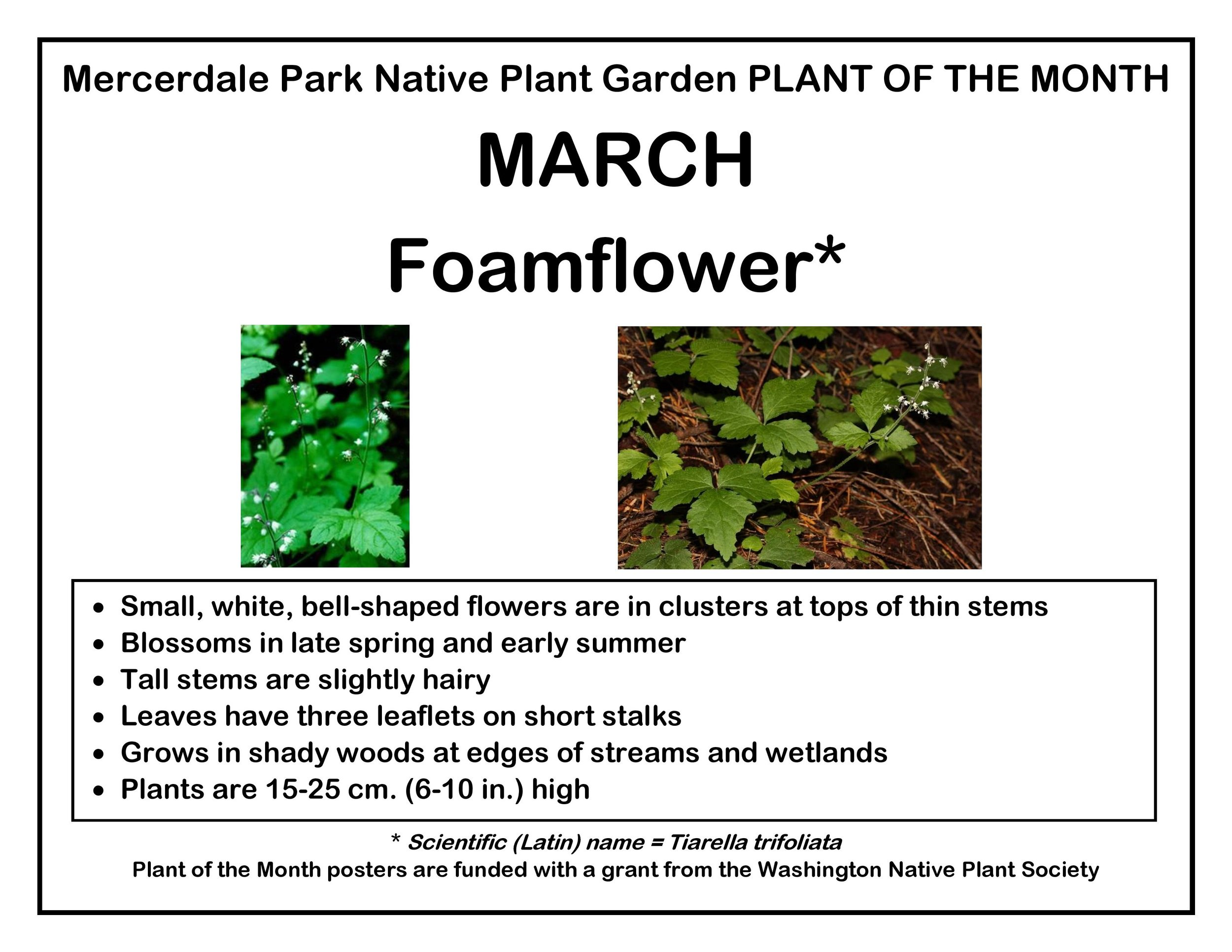 p PLANT OF THE MONTH 3 March Foamflower v2-page-001.jpg