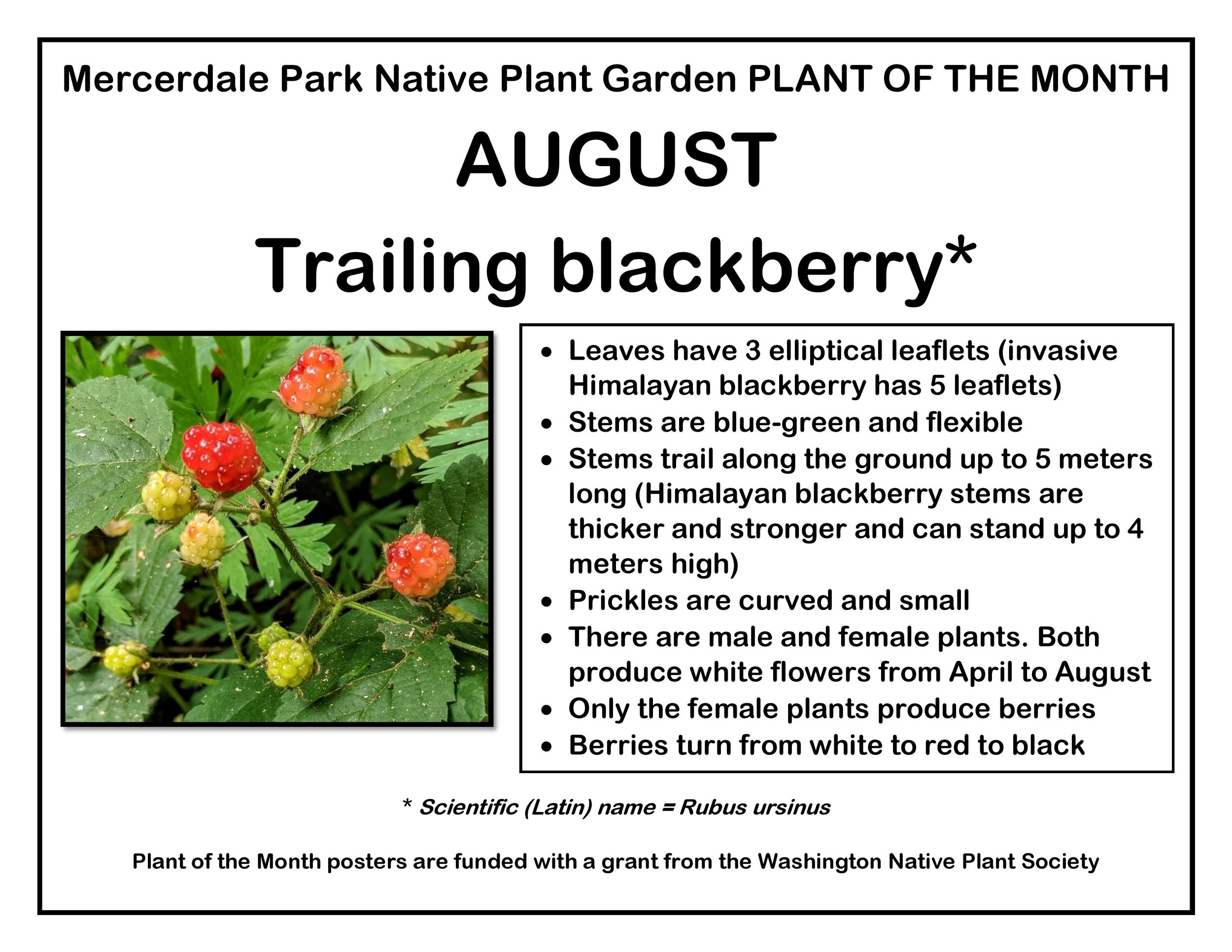 p PLANT OF THE MONTH 8 August Trailing blackberry v2-page-001.jpg