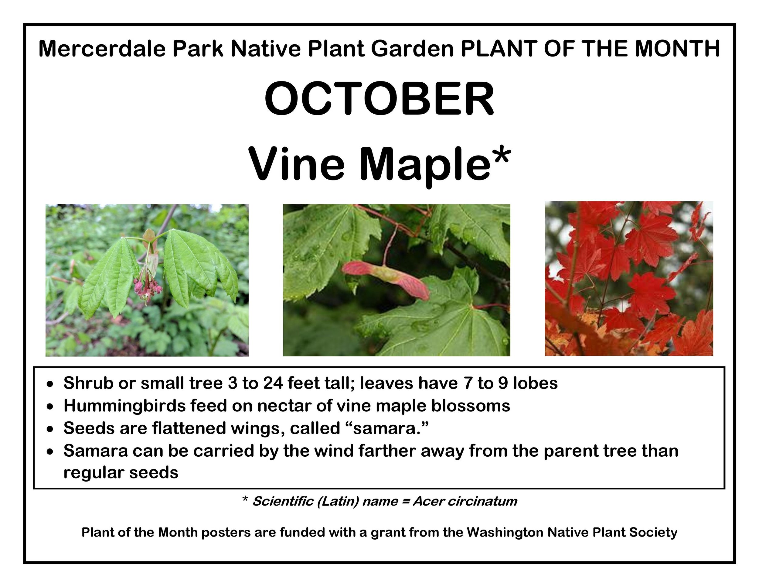p PLANT OF THE MONTH 10 October Vine Maple v2-page-001.jpg