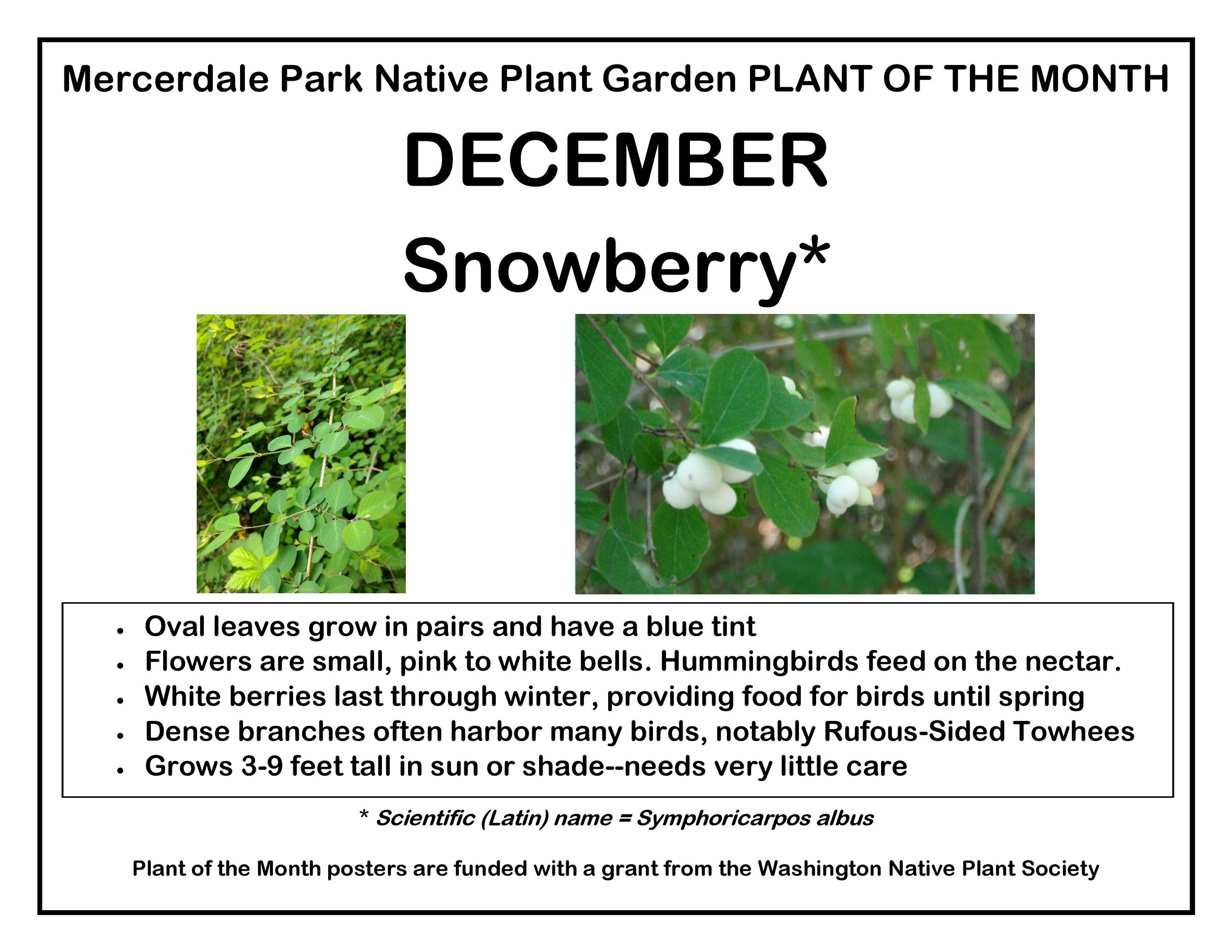 p PLANT OF THE MONTH 12 December Snowberry v2-page-001.jpg