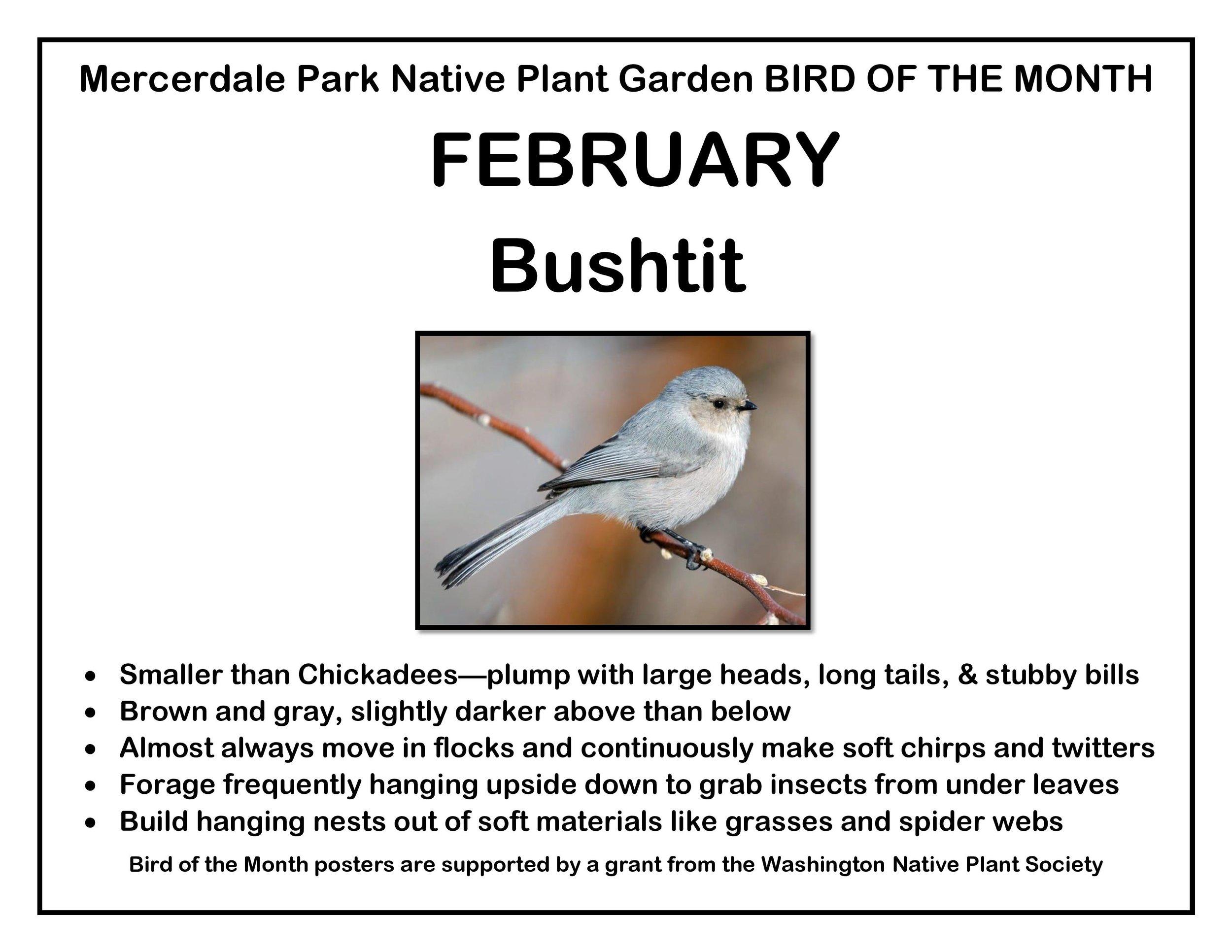 p BIRD OF THE MONTH 2 February Bushtit v2-page-001.jpg