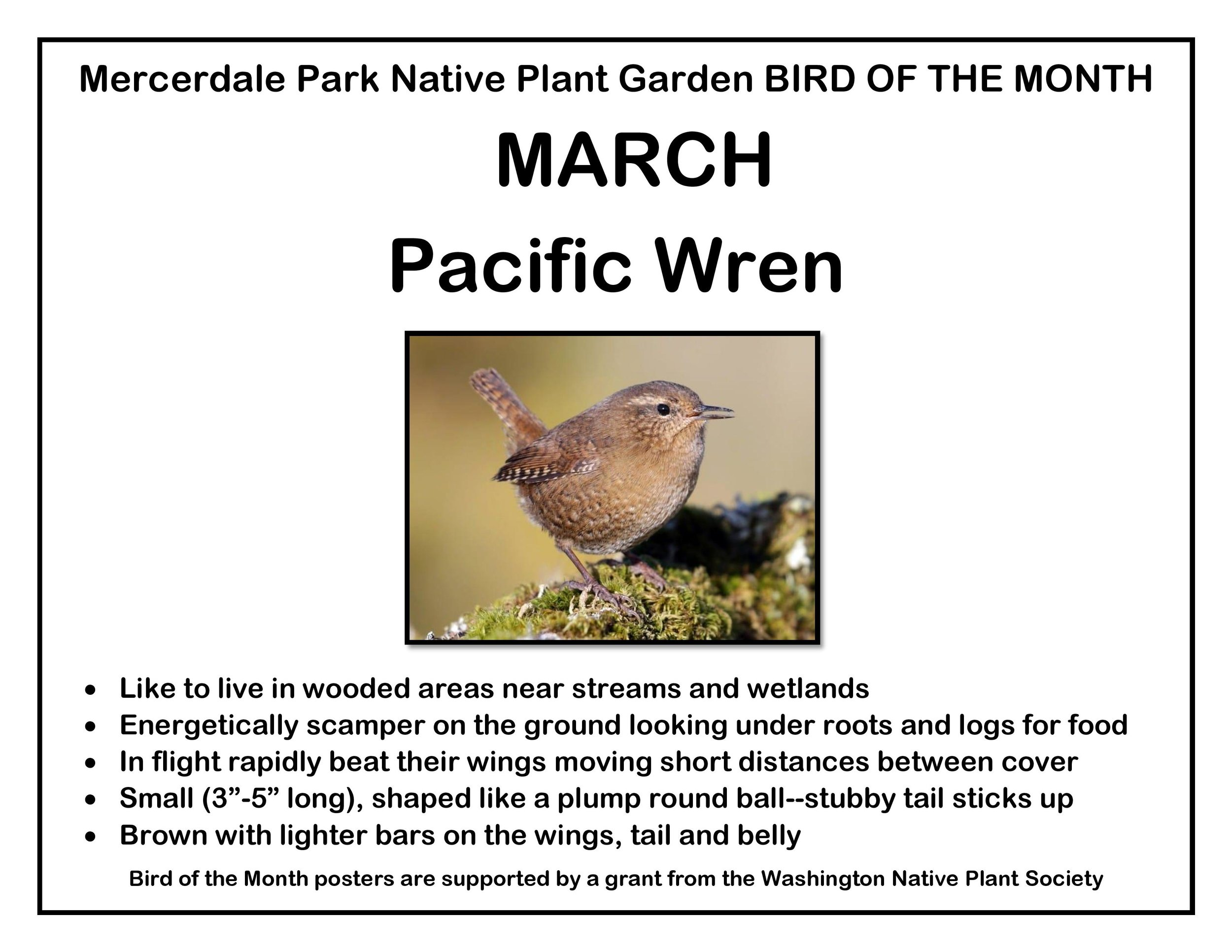 p BIRD OF THE MONTH 3 March Pacific Wren v3-page-001.jpg