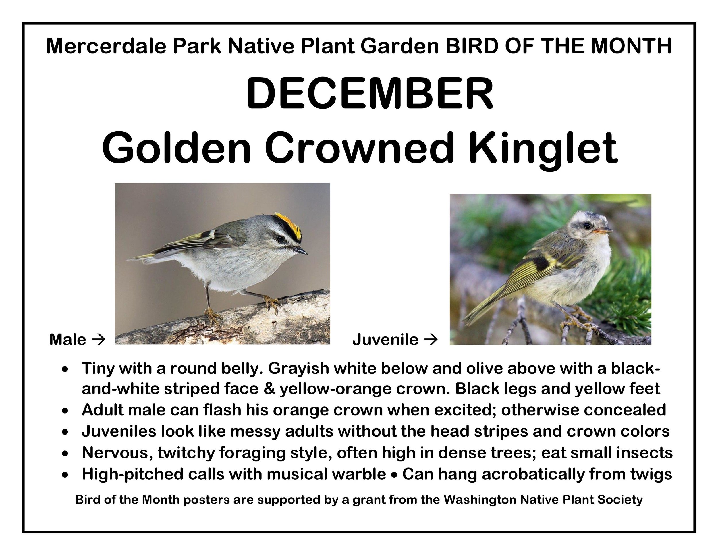 p BIRD OF THE MONTH 12 December Golden Crowned Kinglet-page-001.jpg