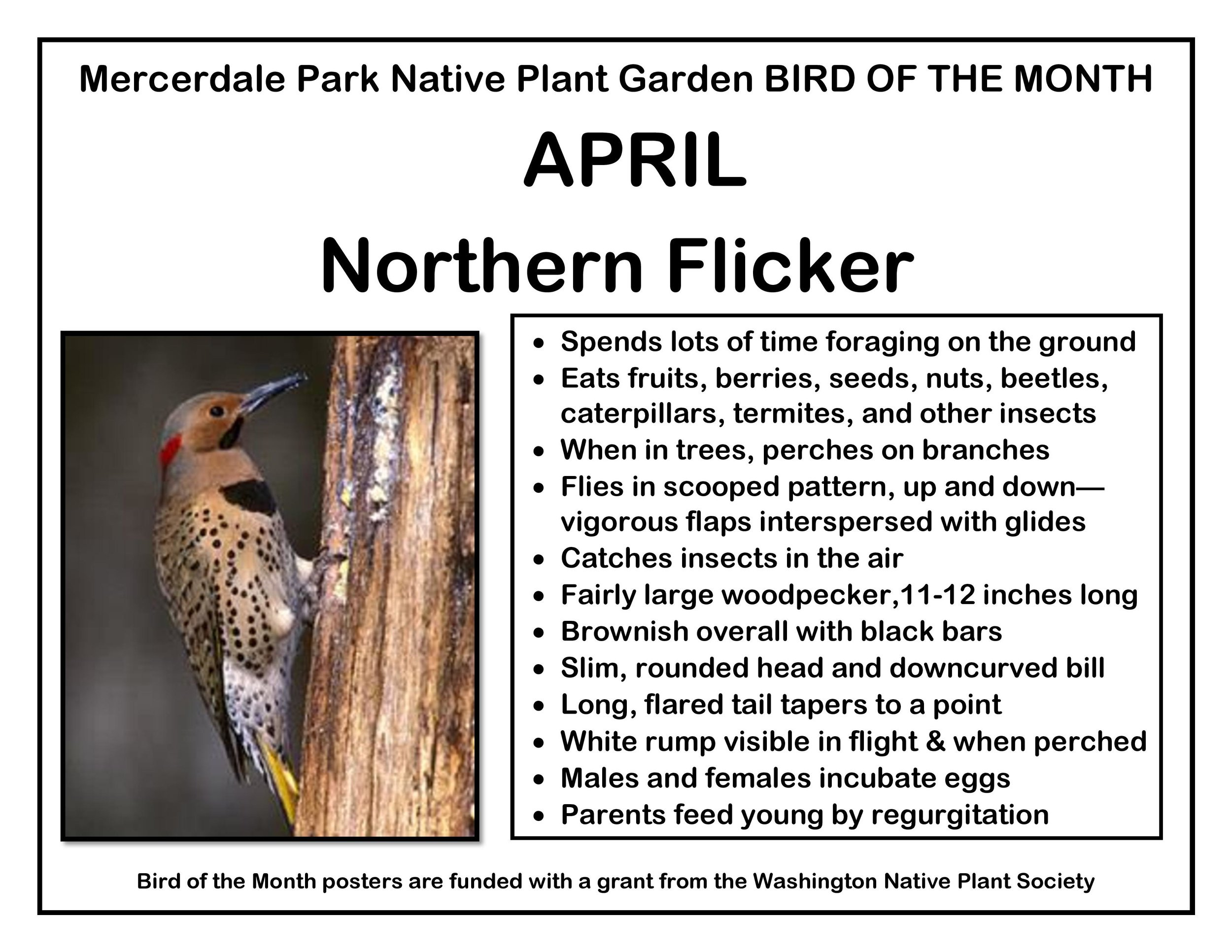 p BIRD OF THE MONTH 4 April Northern Flicker v2-page-001.jpg