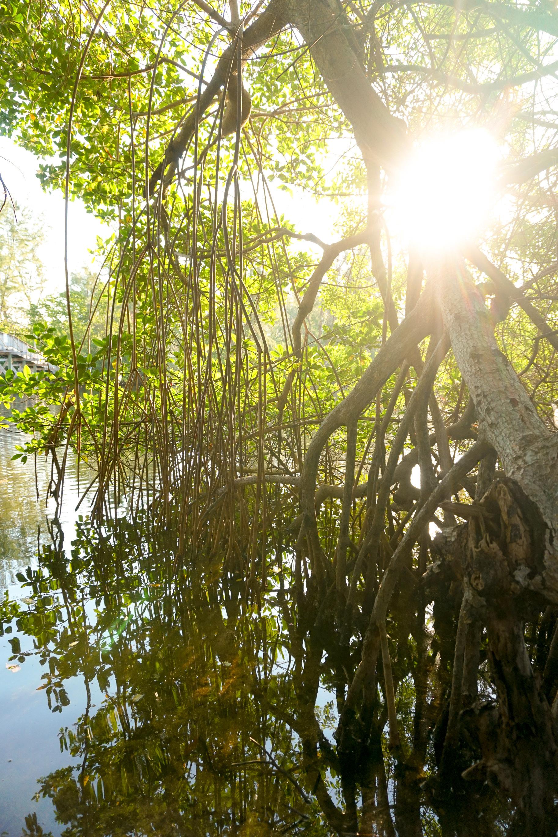 Climate Change Mangroves_olapicreative