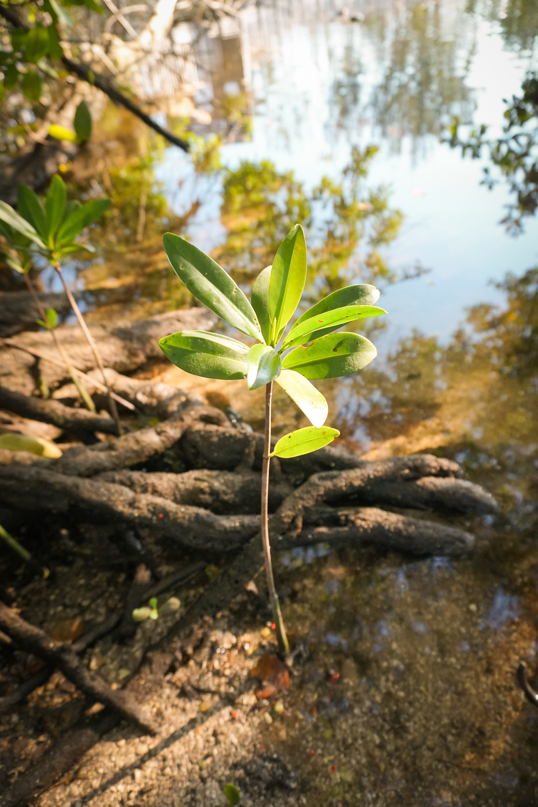 Climate Change Young Mangrove_olapicreative