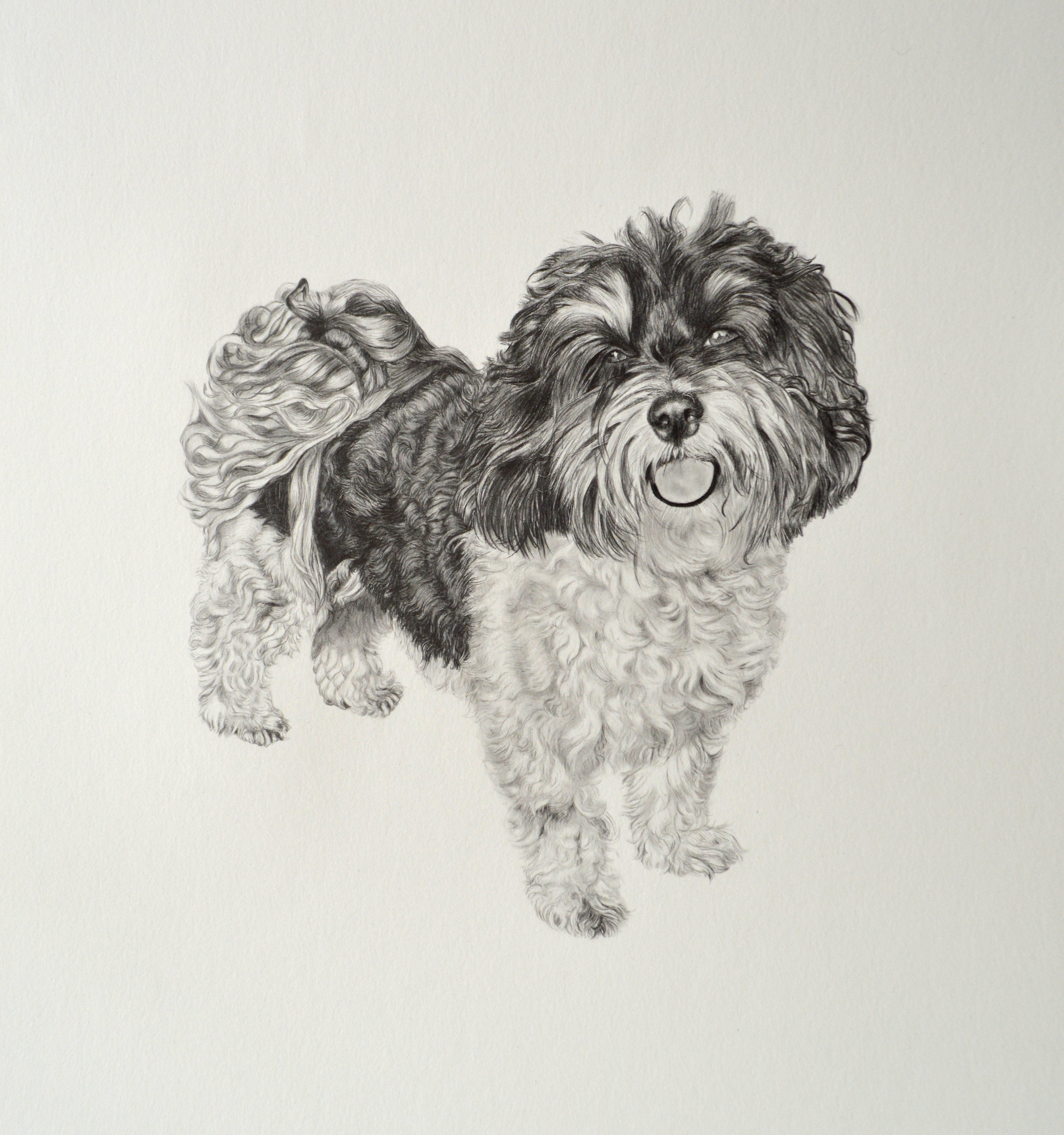 "Paco  20"" x 20"" in  Graphite on paper"