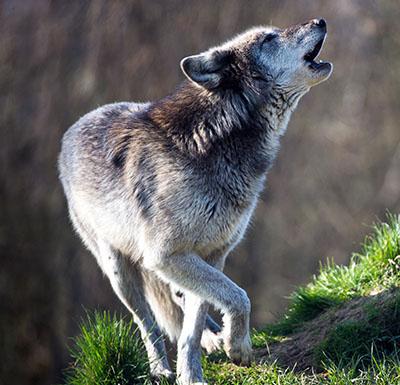 wolf blog quote.jpg