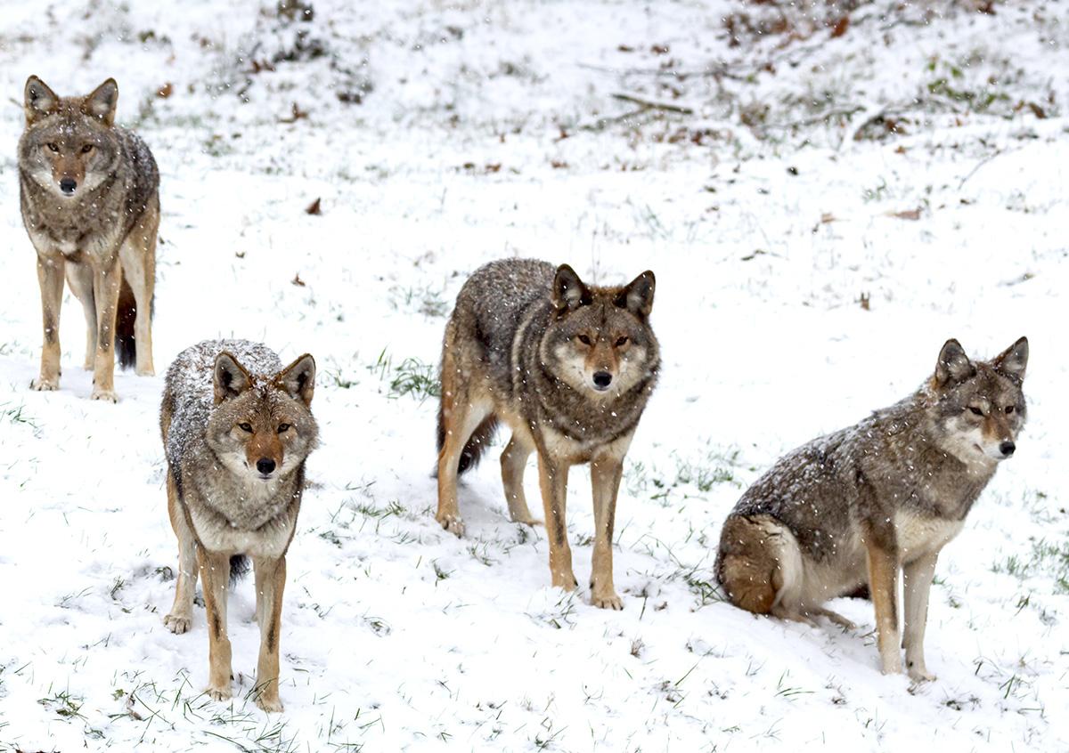 coyote blog B v2.jpg