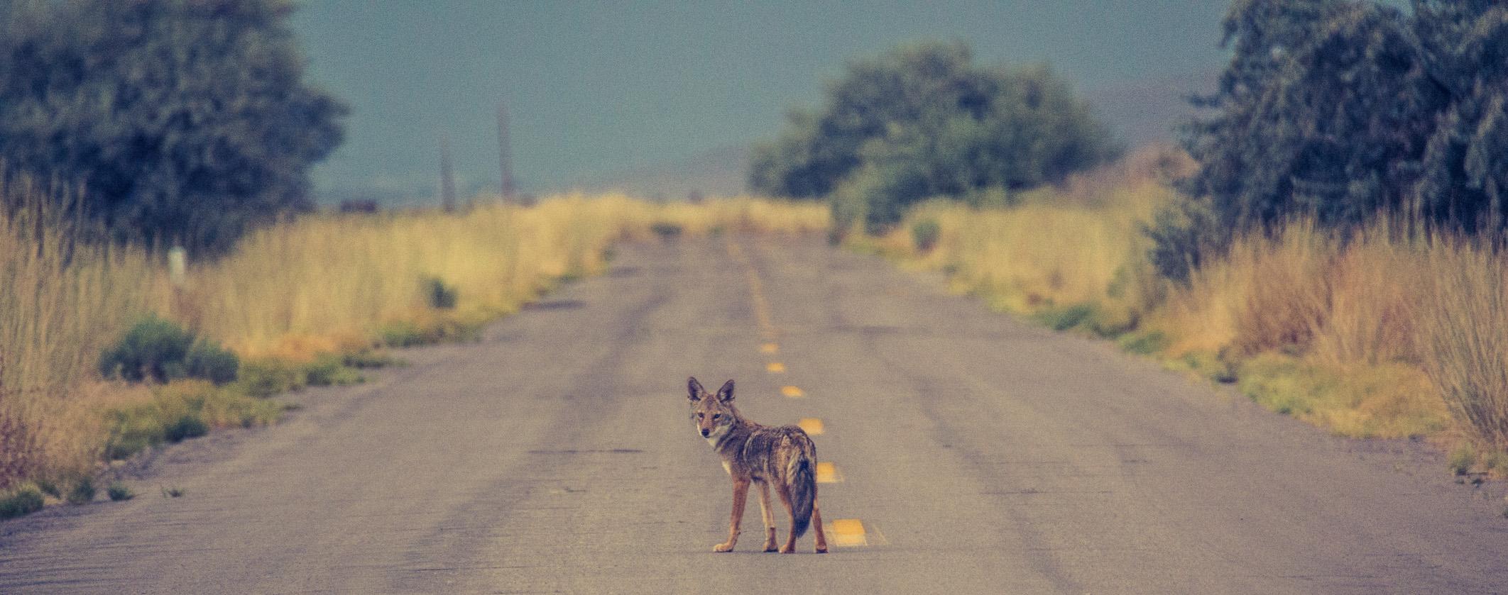 coyote_crop.jpg